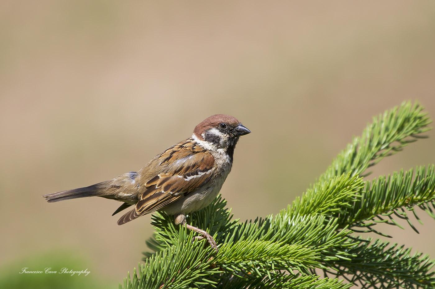 Sparrow ..........