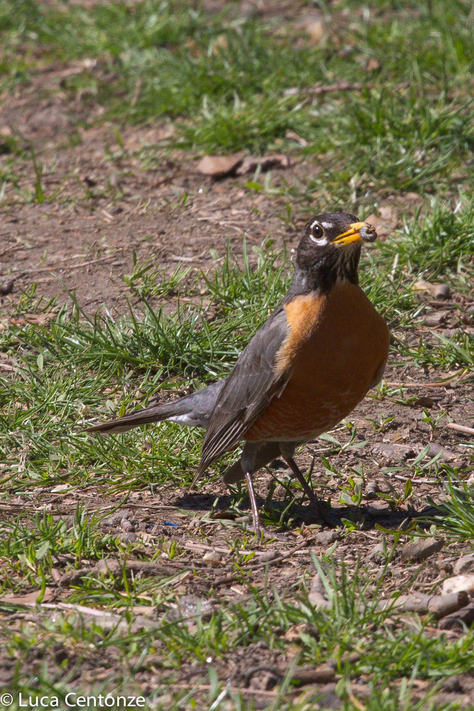 American Robin (Sturnus Migratorius)...
