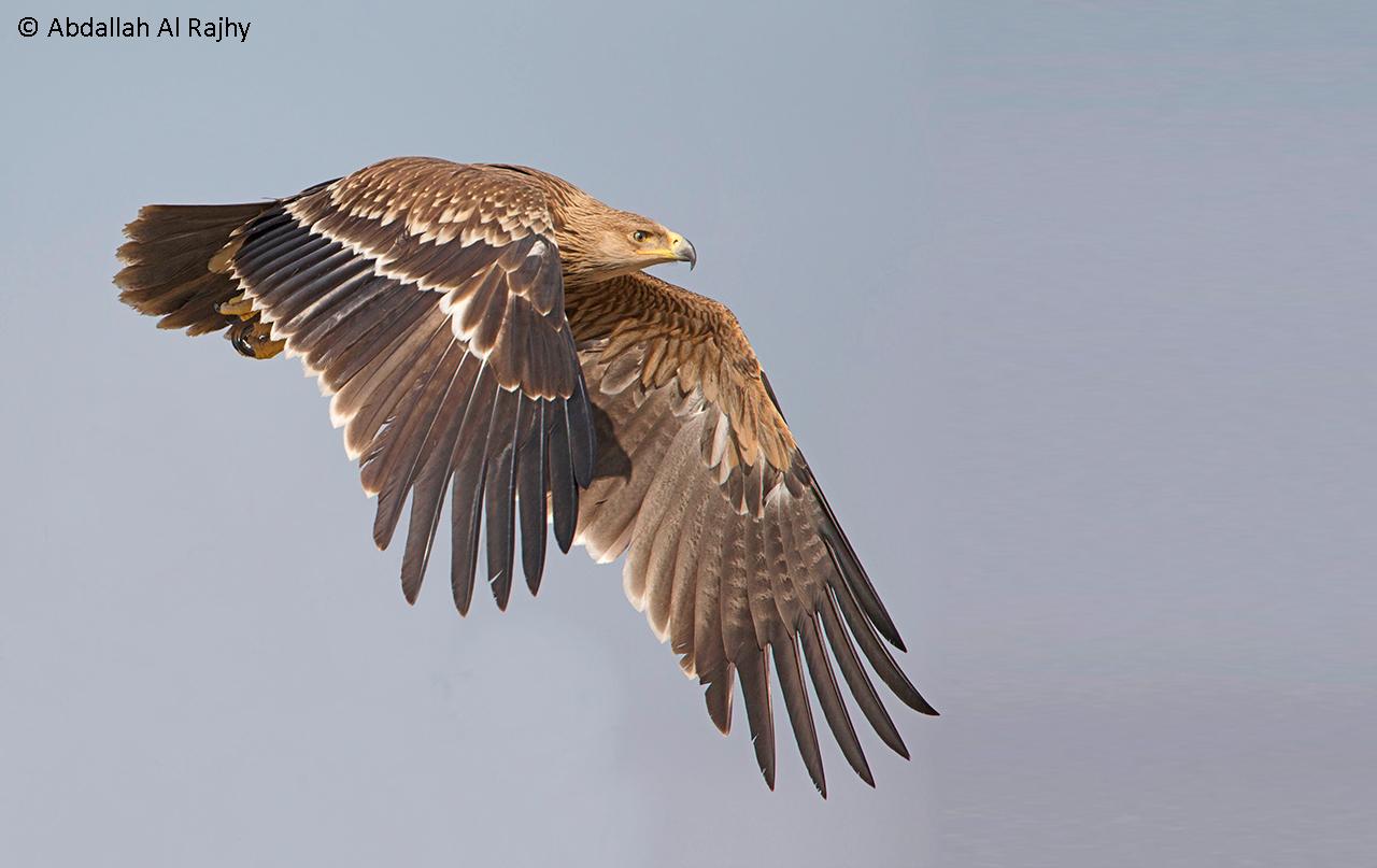 Imperial eagle...