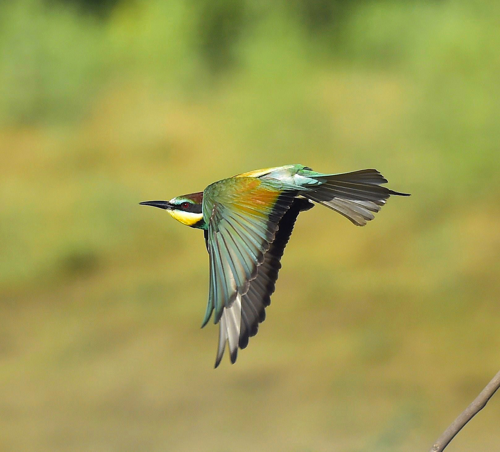 Bee-Eater in Flight...