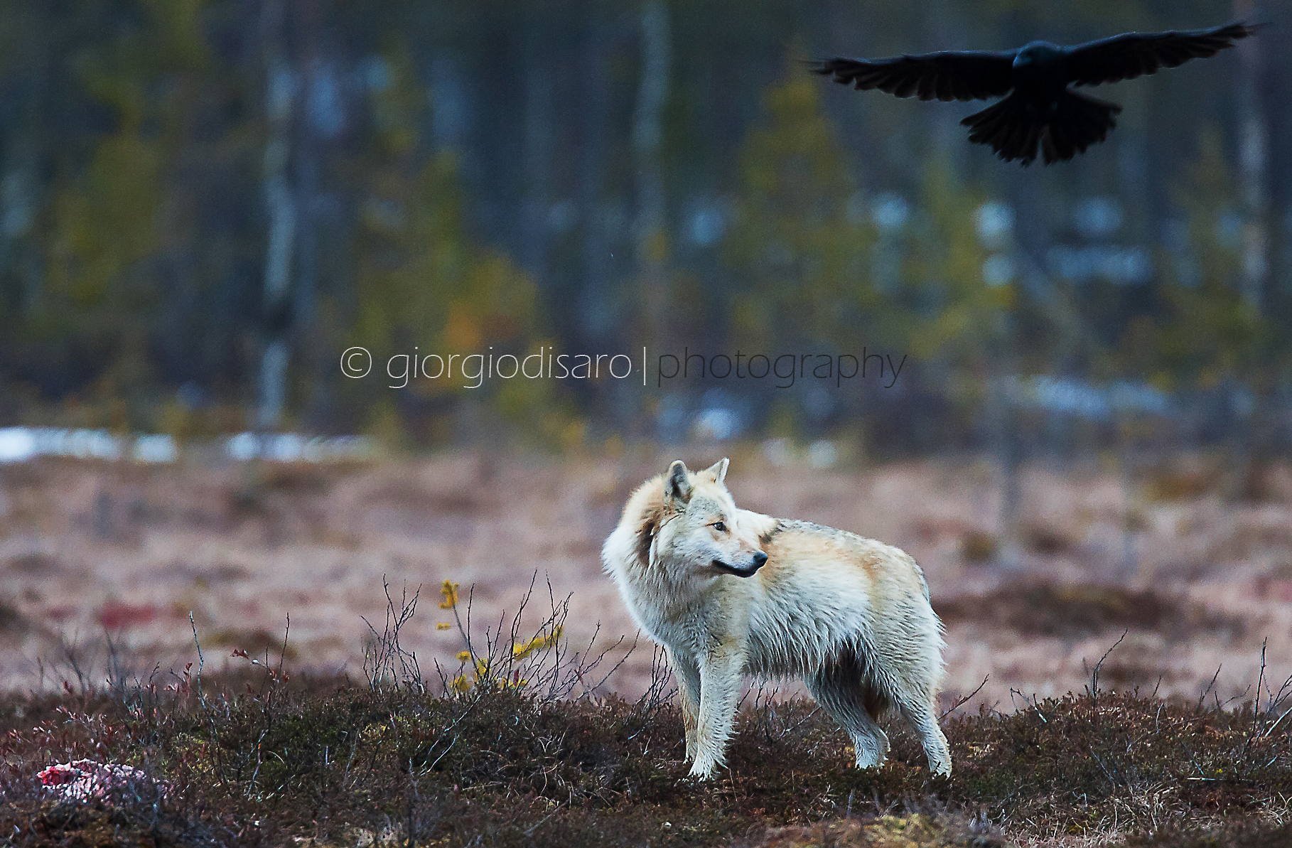 the wolf and the raven...