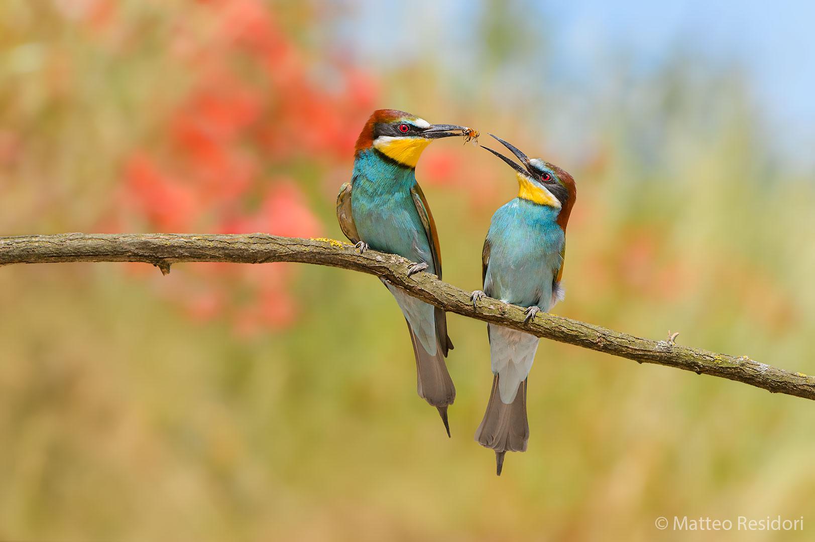 Bee-eaters (exchange of prey)...