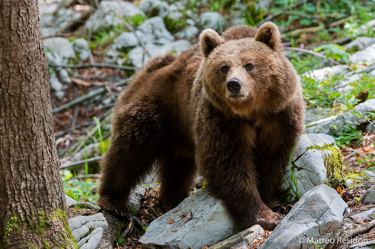 Brown Bear...