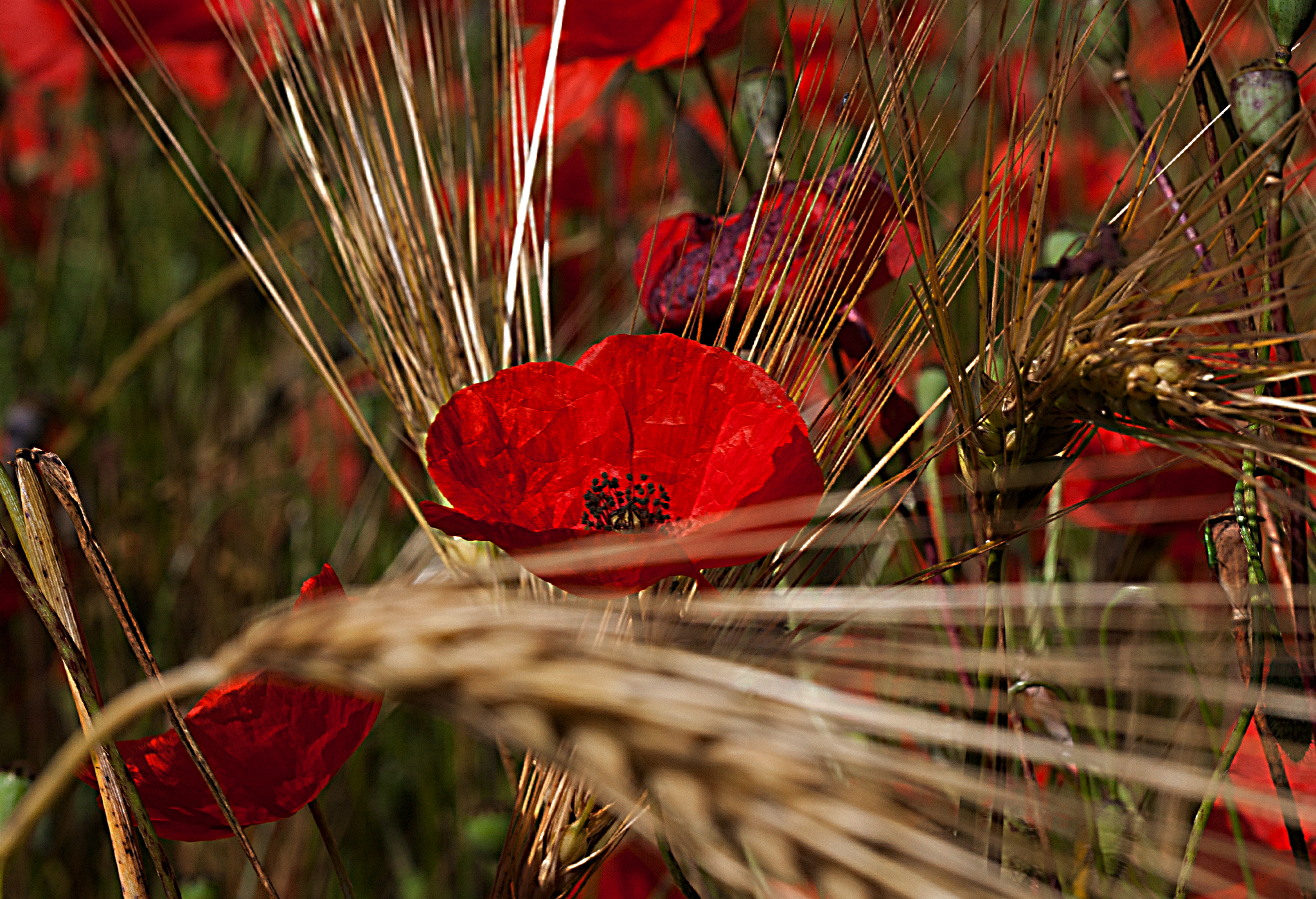 poppies and ears...