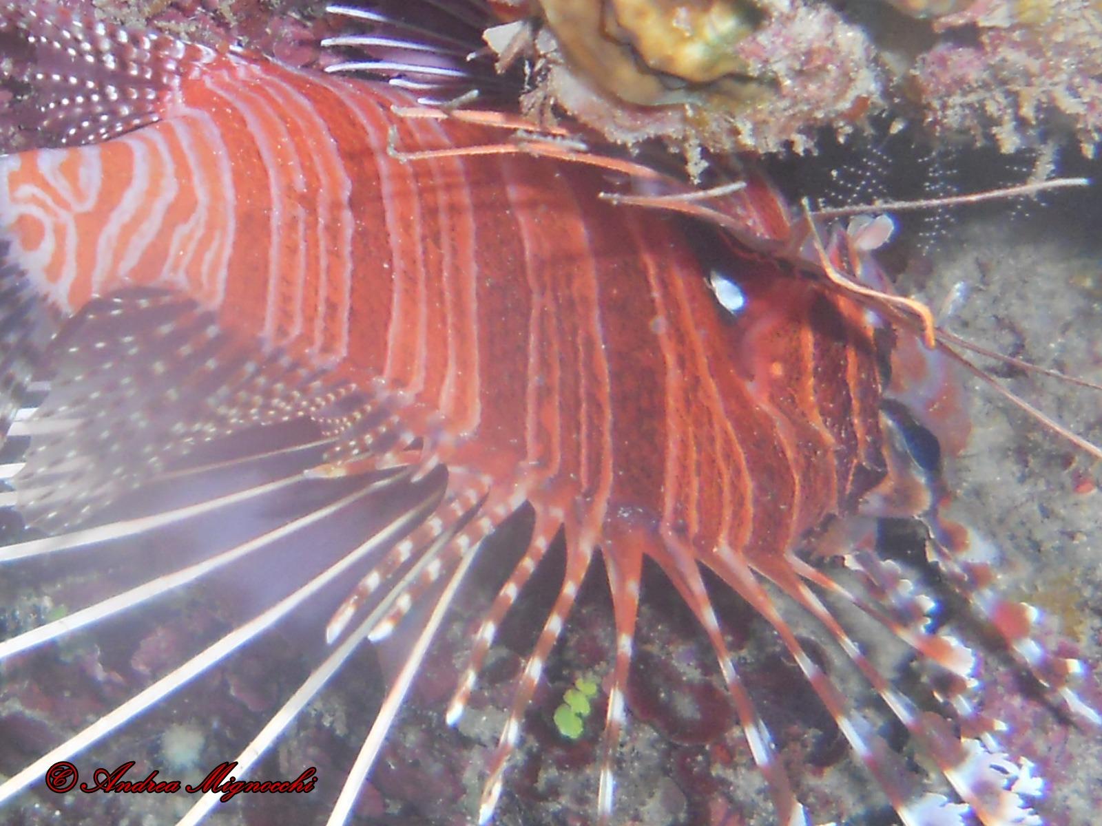 Red Lionfish (Pterois volitans) dormant...