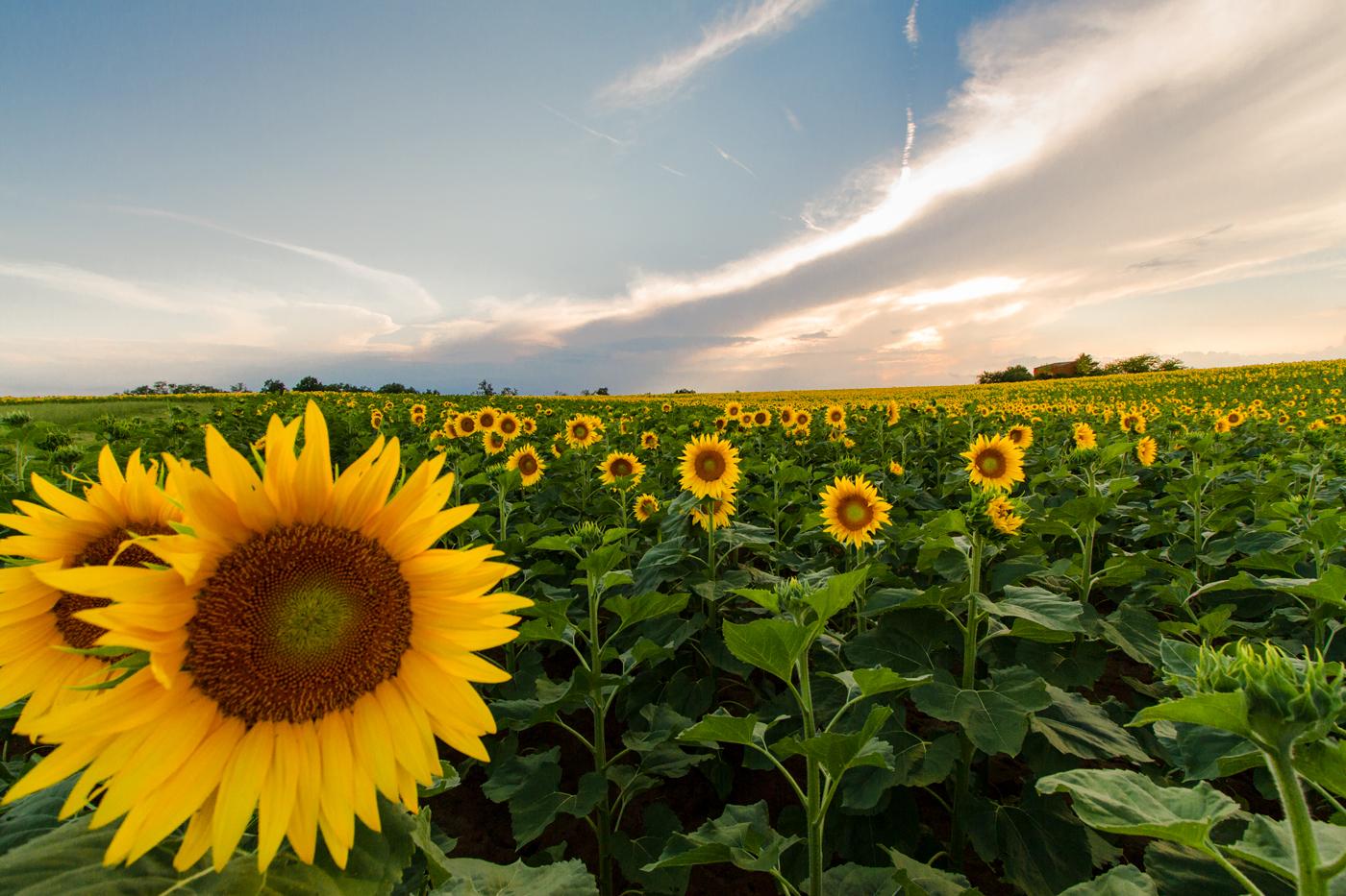Sunflowers at Sunset...