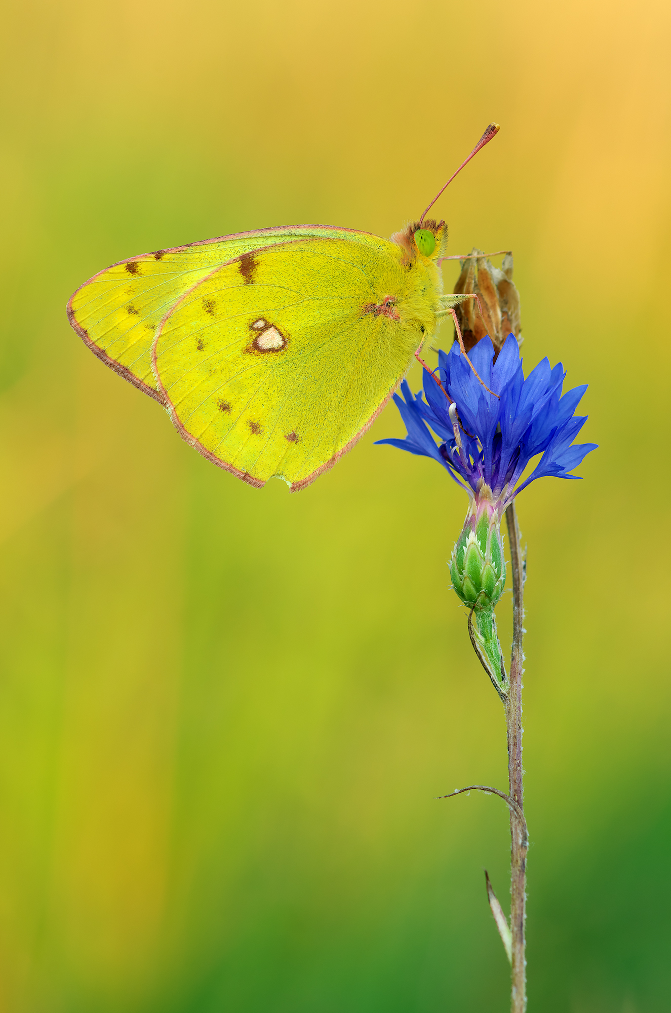Colias hyale...