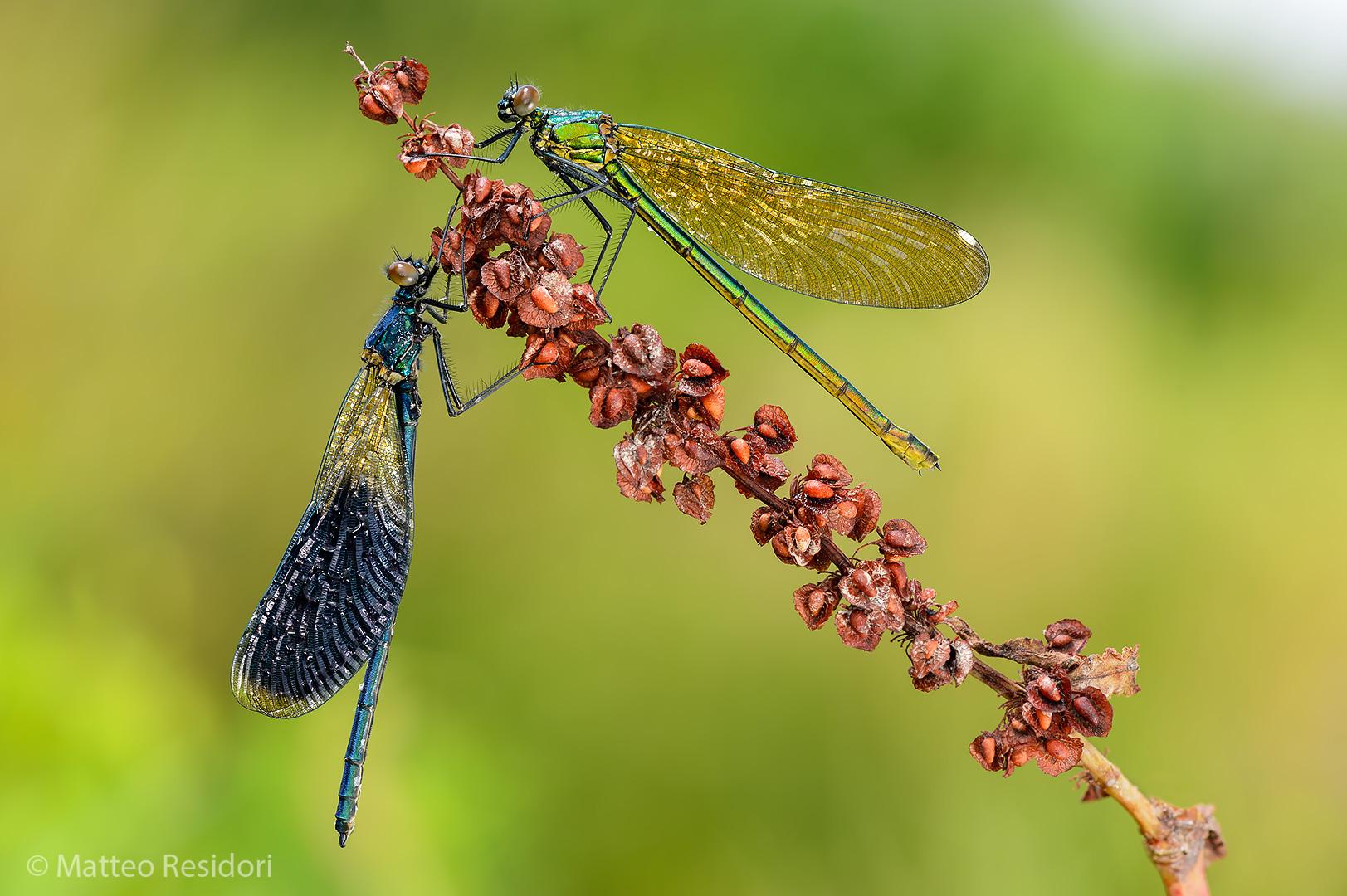 Calopteryx splendens (male and female)...