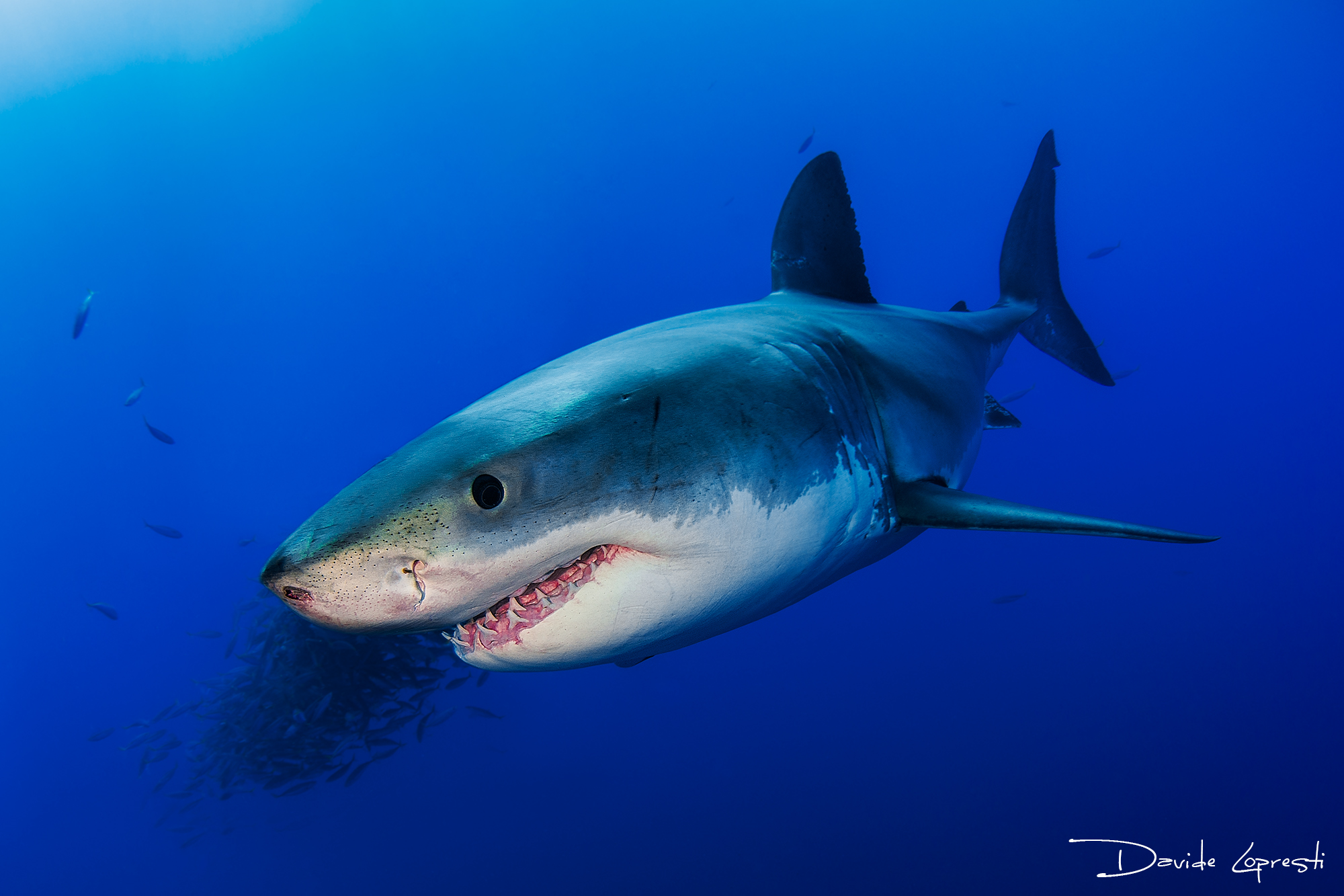 Great withe shark...