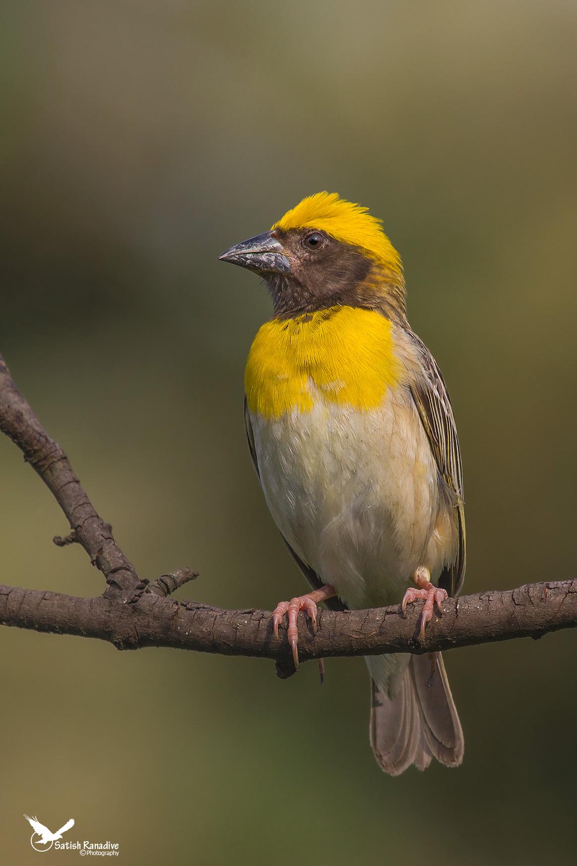 Baya Weaver,male breeding plumage....