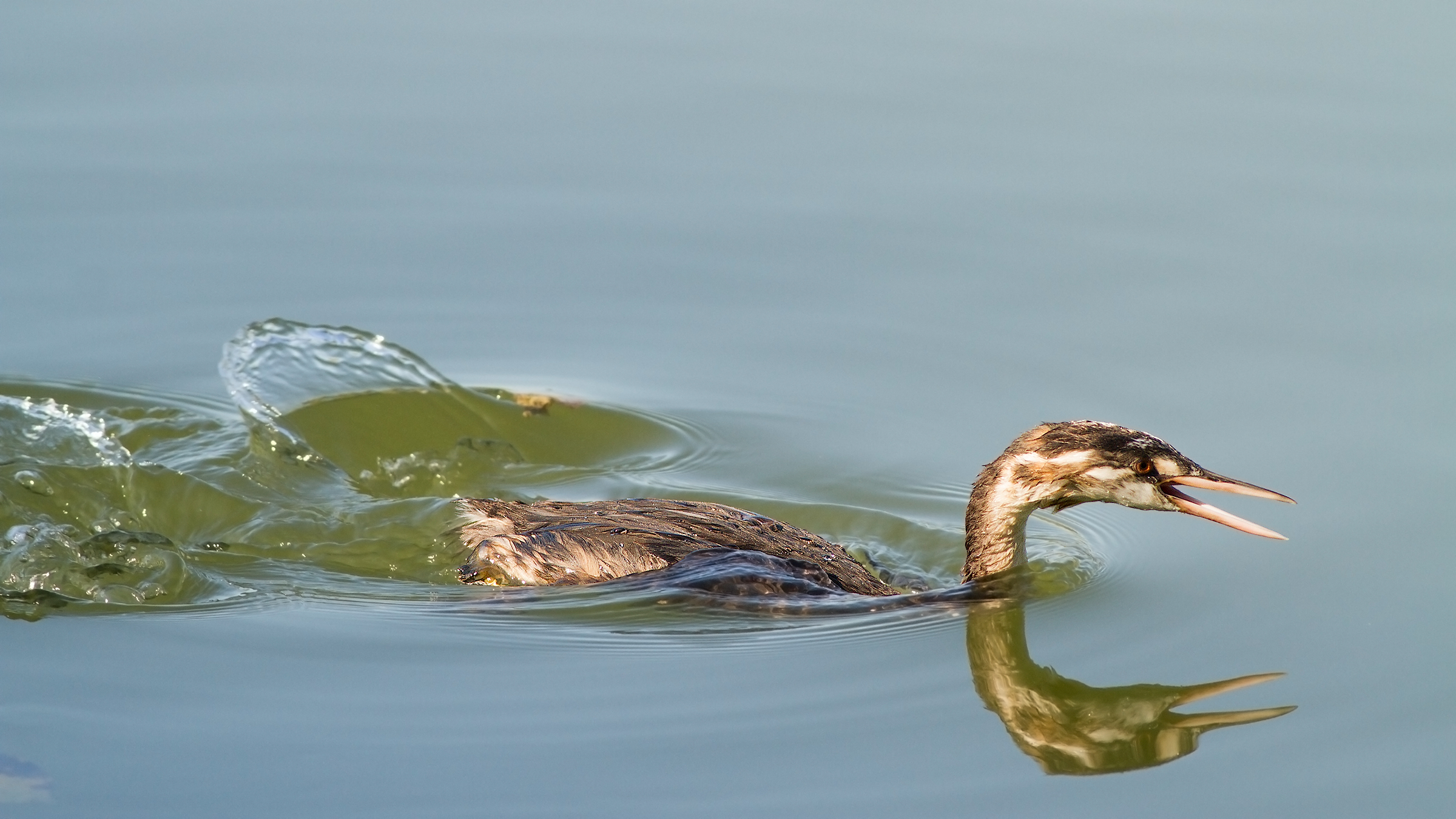 Young hungry Grebe...