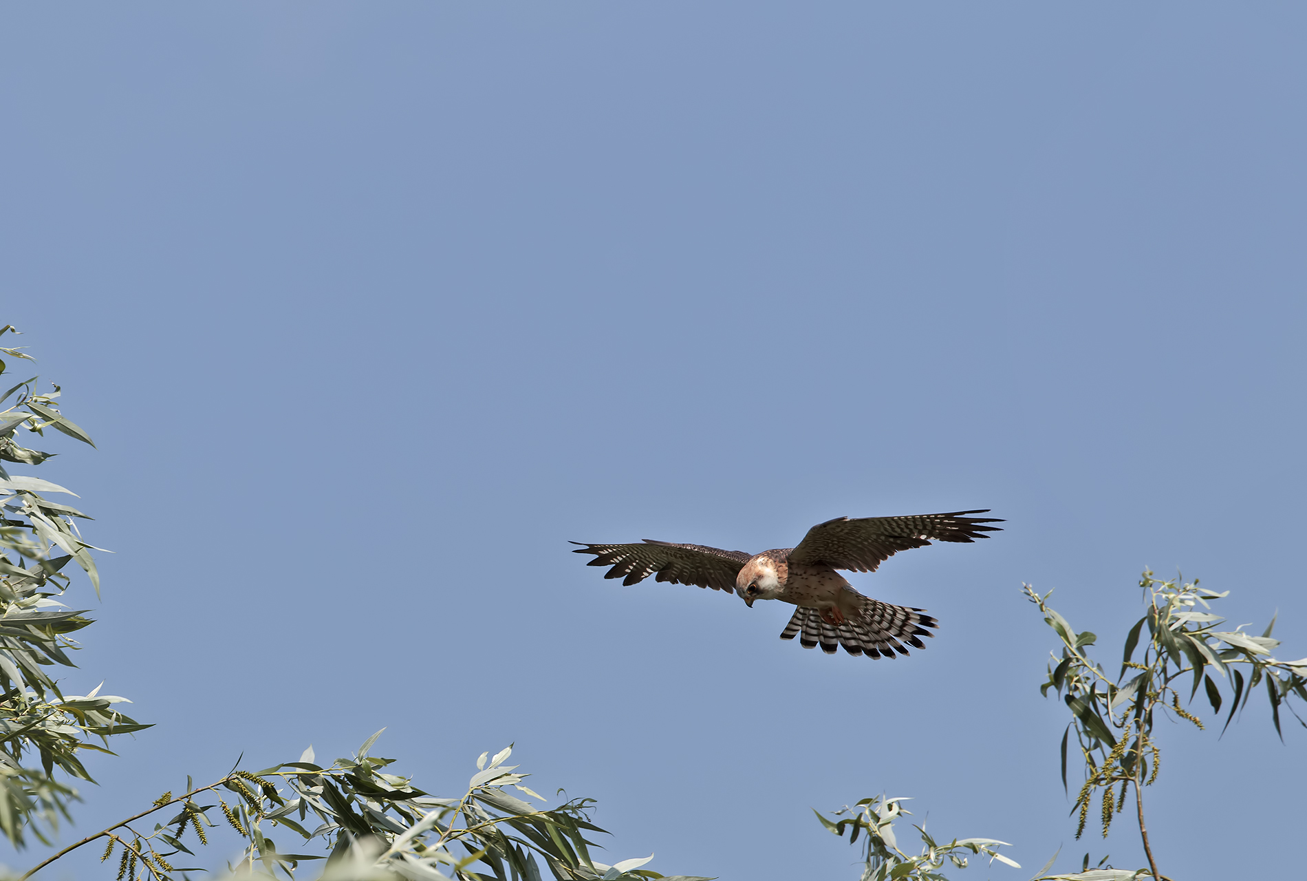 Red-footed Falcon on patrol...