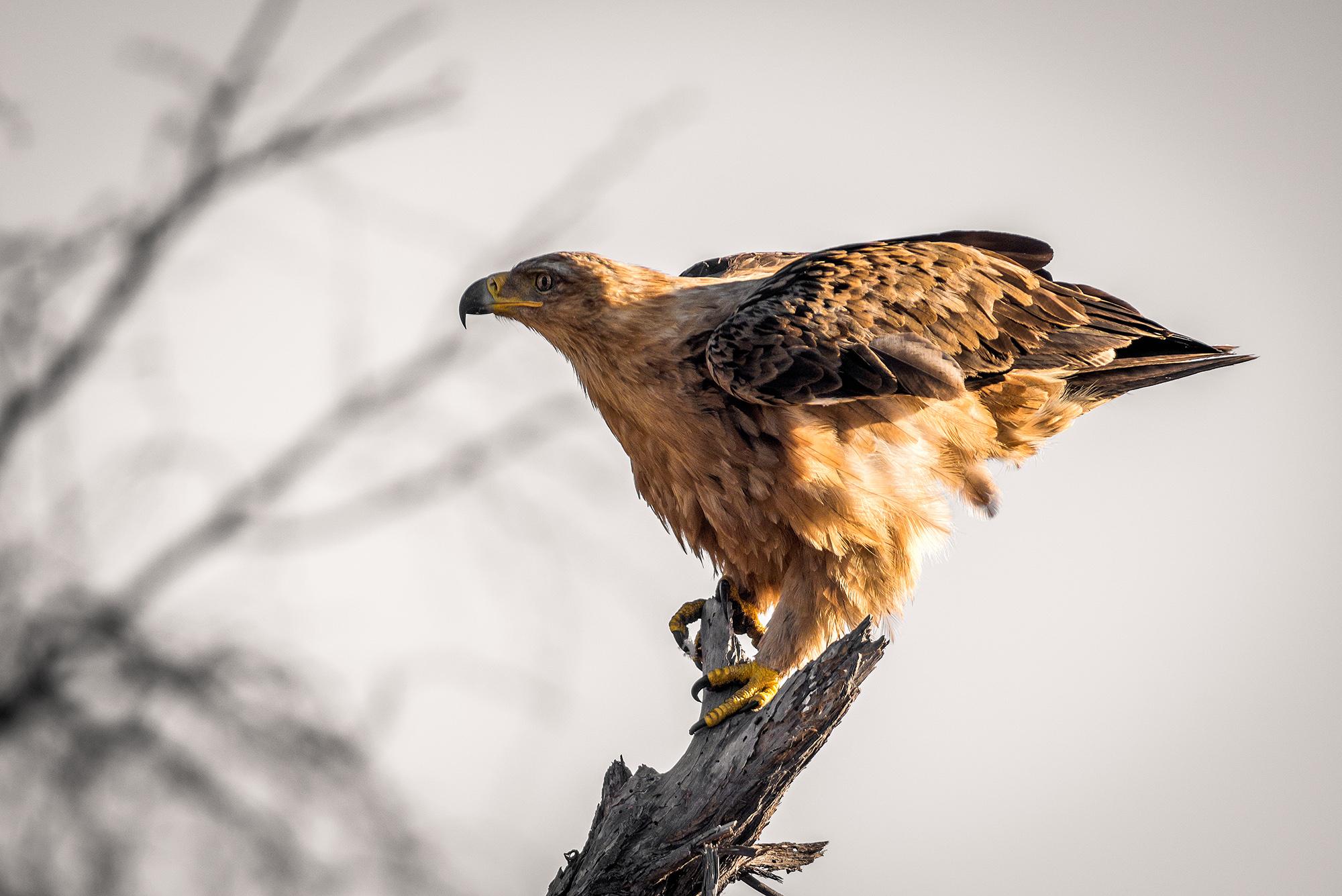 Aquila rapace (Aquila rapax)...