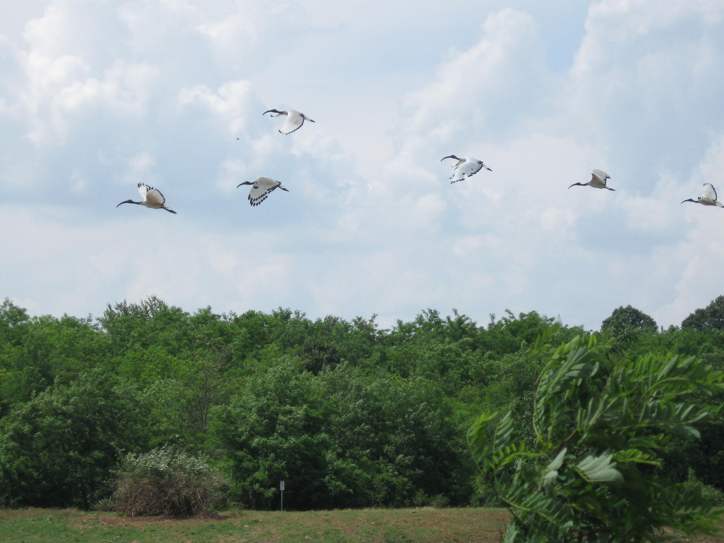 ibis in flight...