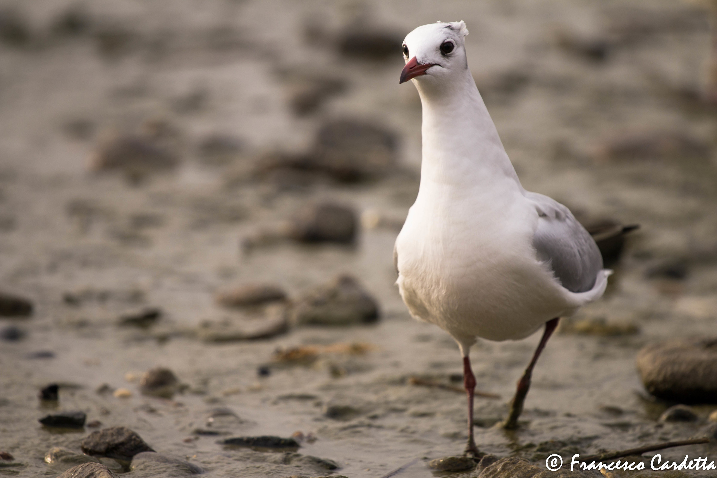 Seagull disheveled...