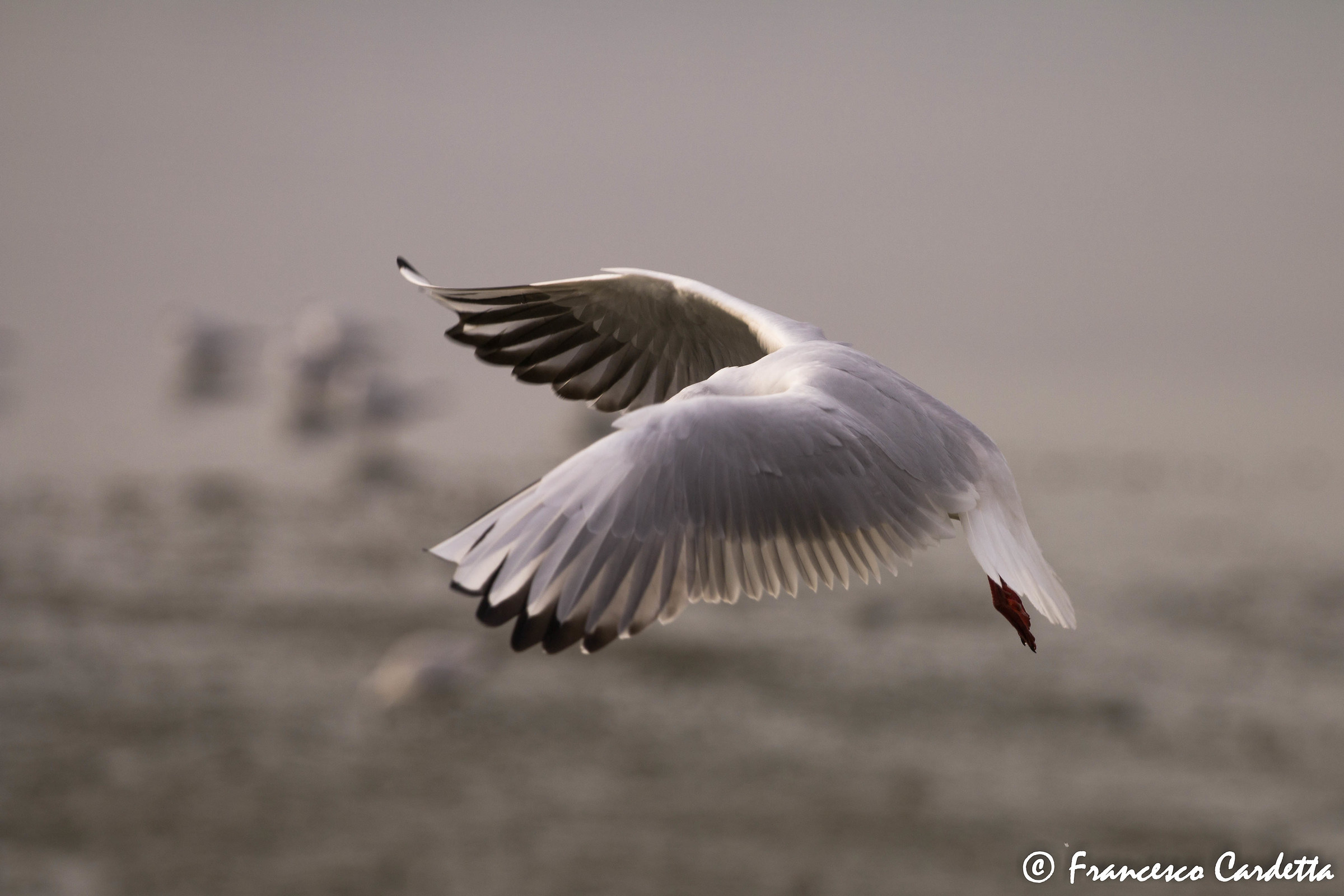Panning of a seagull...