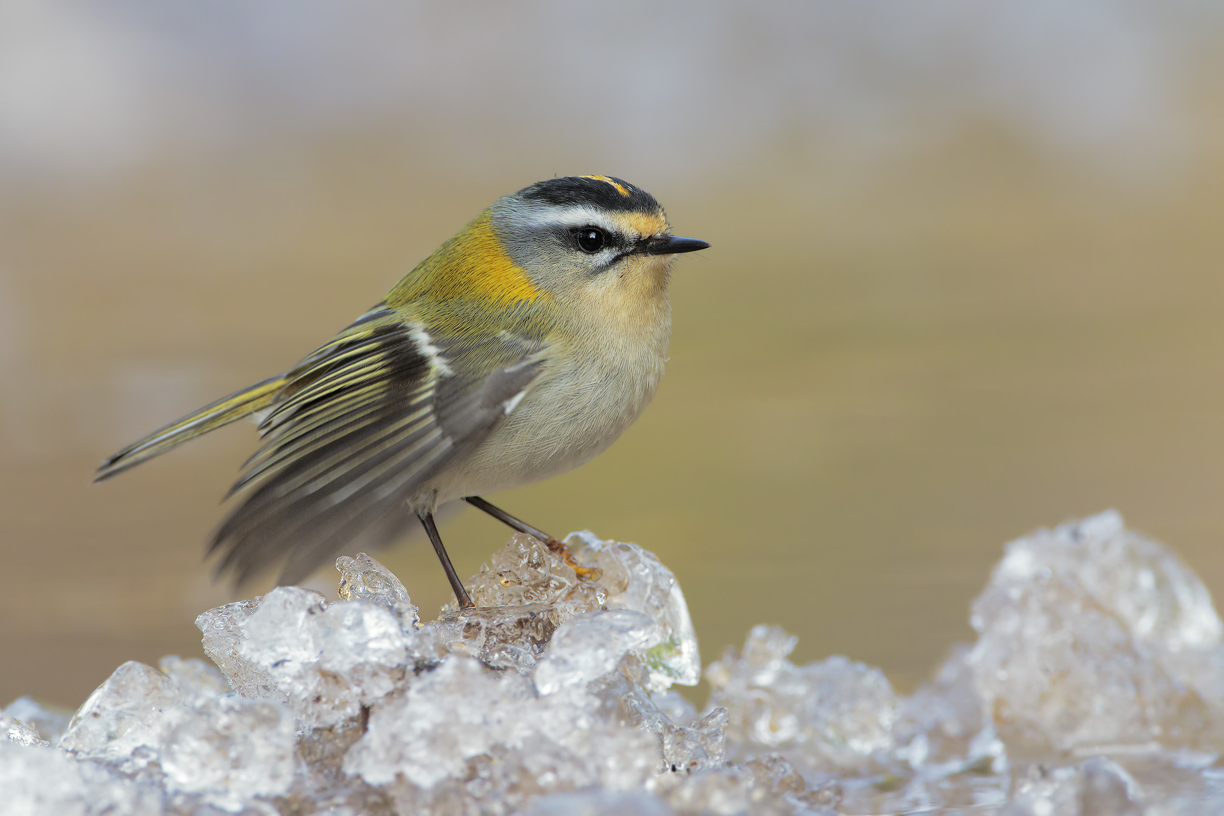 Firecrest on ice 2...