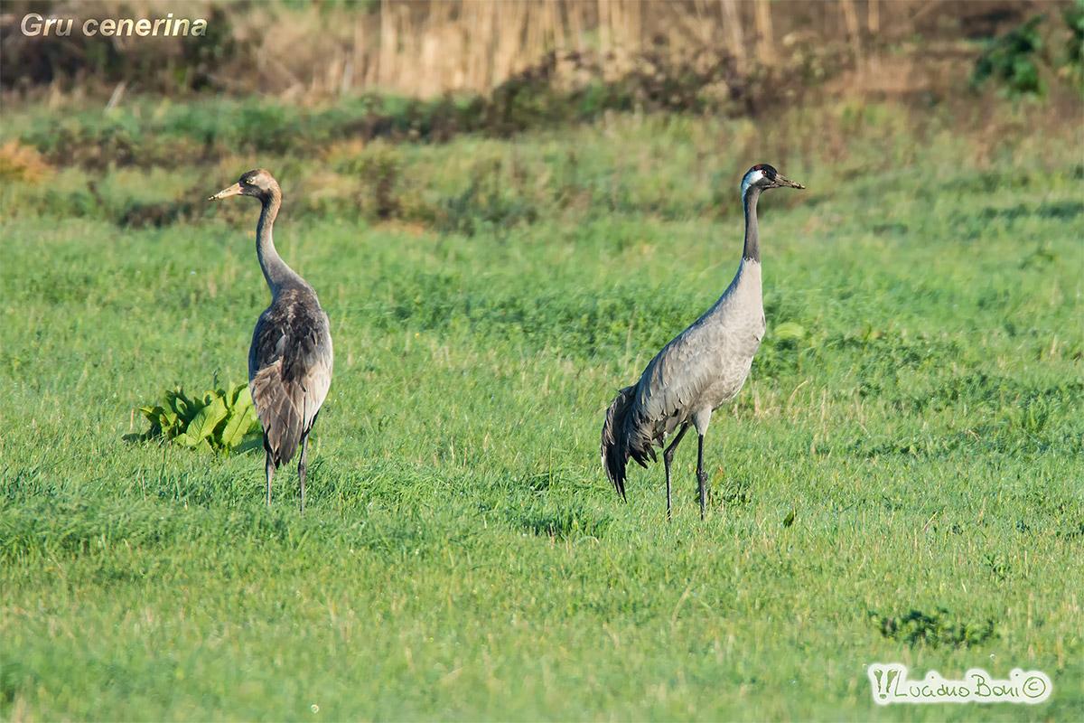 Maremma cranes...