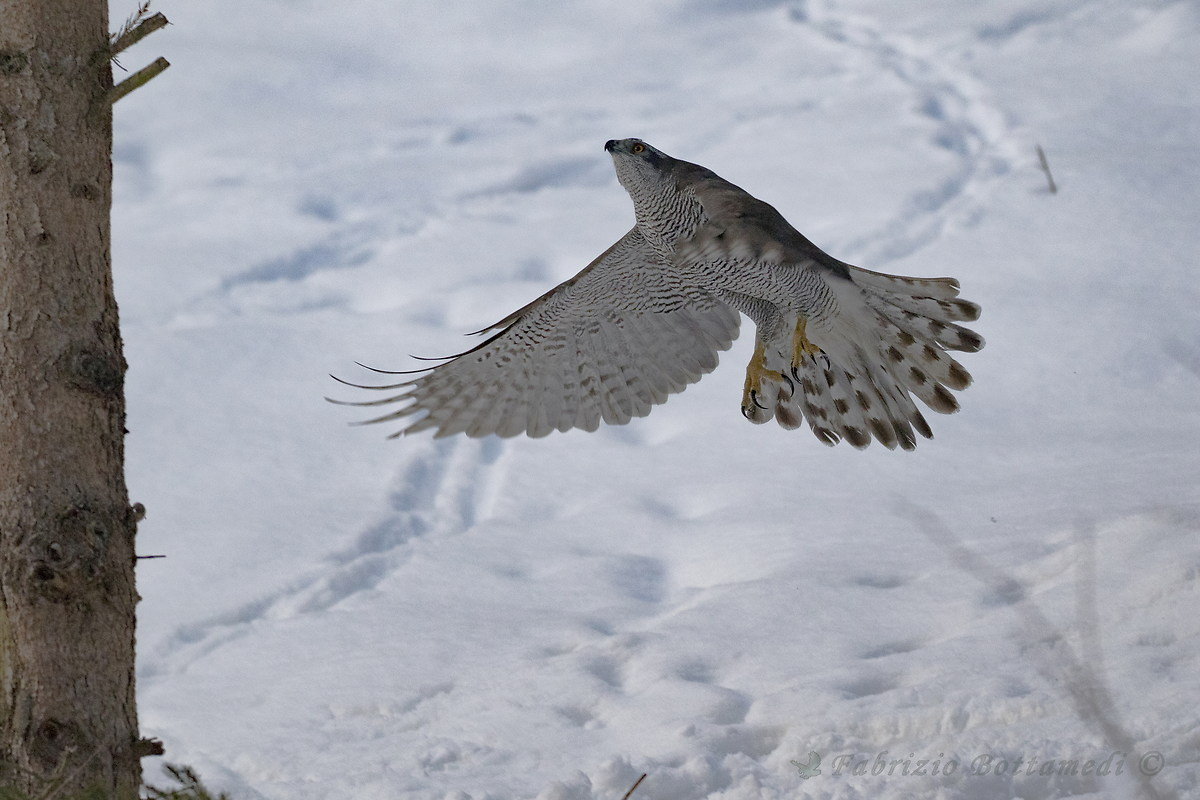 The goshawk with white wings on the white snow...