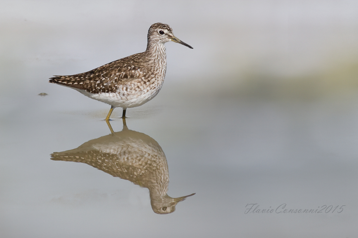 The reflection of the sandpiper...