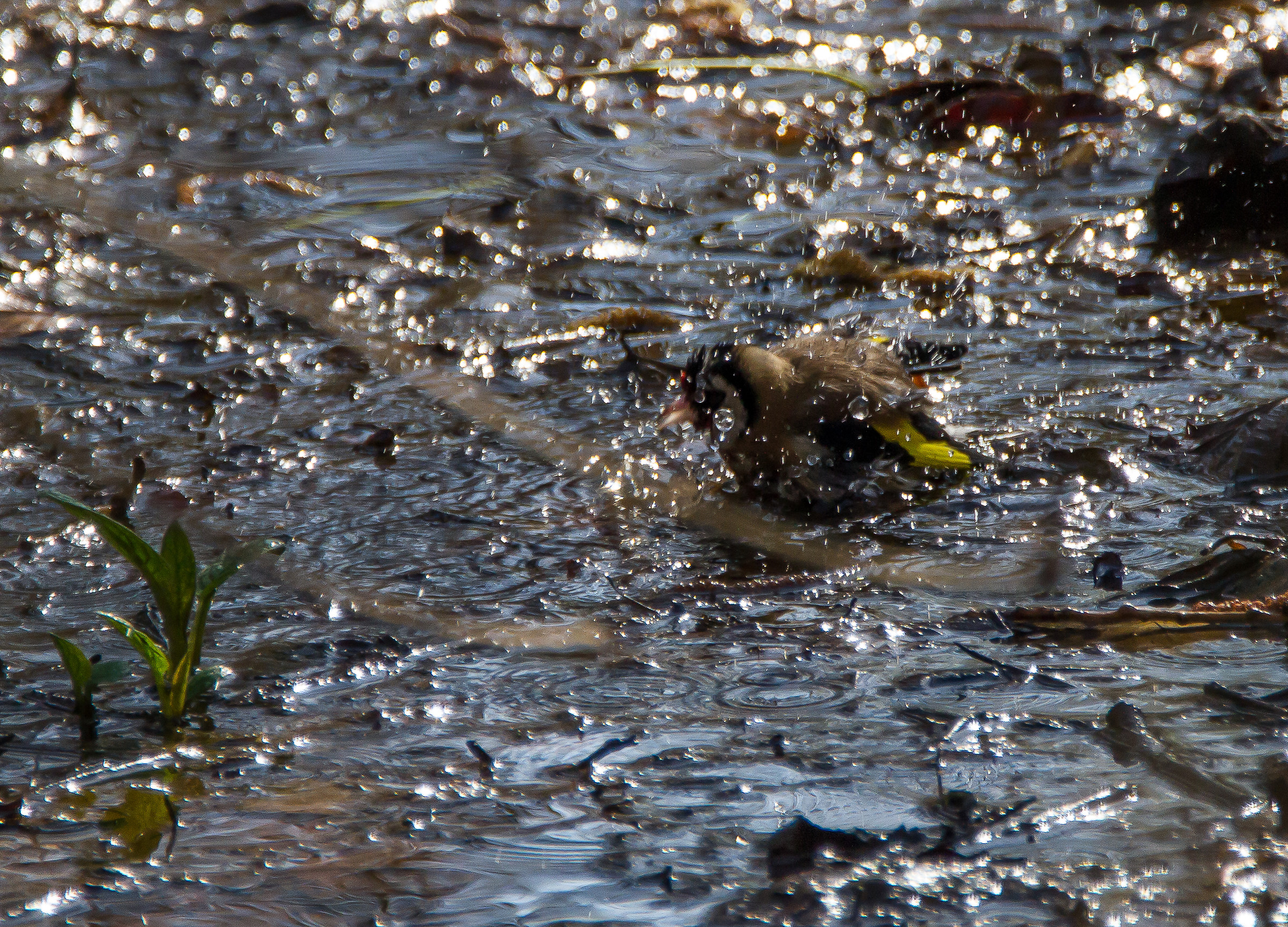 The bath of the Goldfinch...