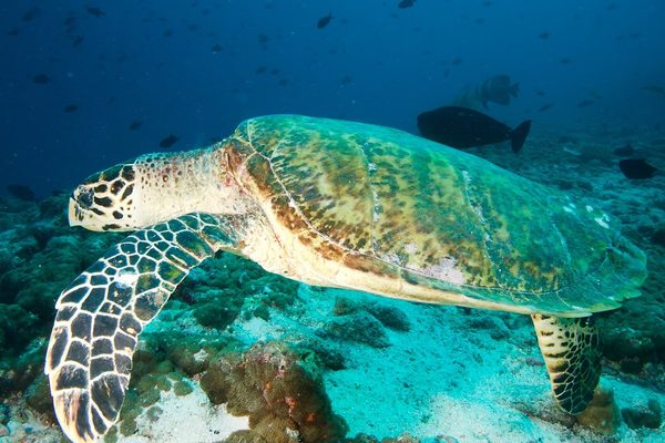 Tartaruga verde juzaphoto - Pagine di colorazione tartaruga ...