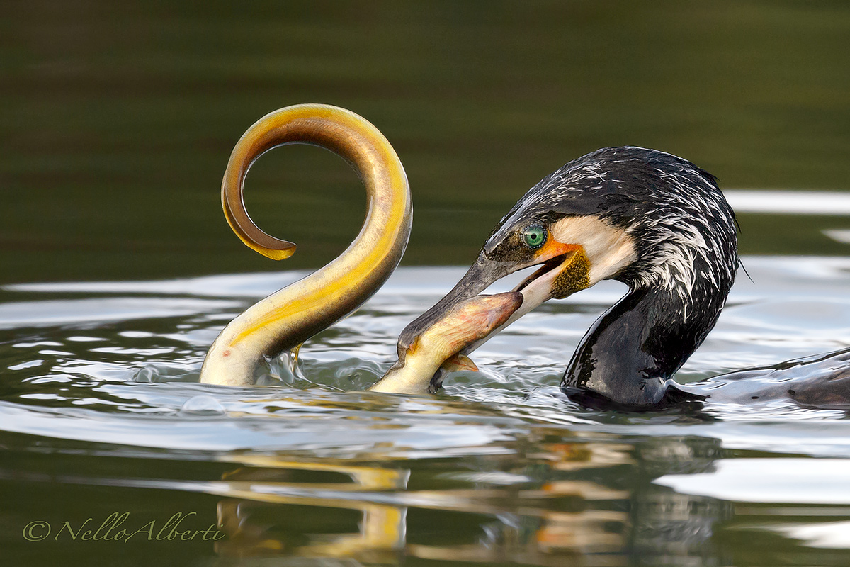 cormorant with very big eel...
