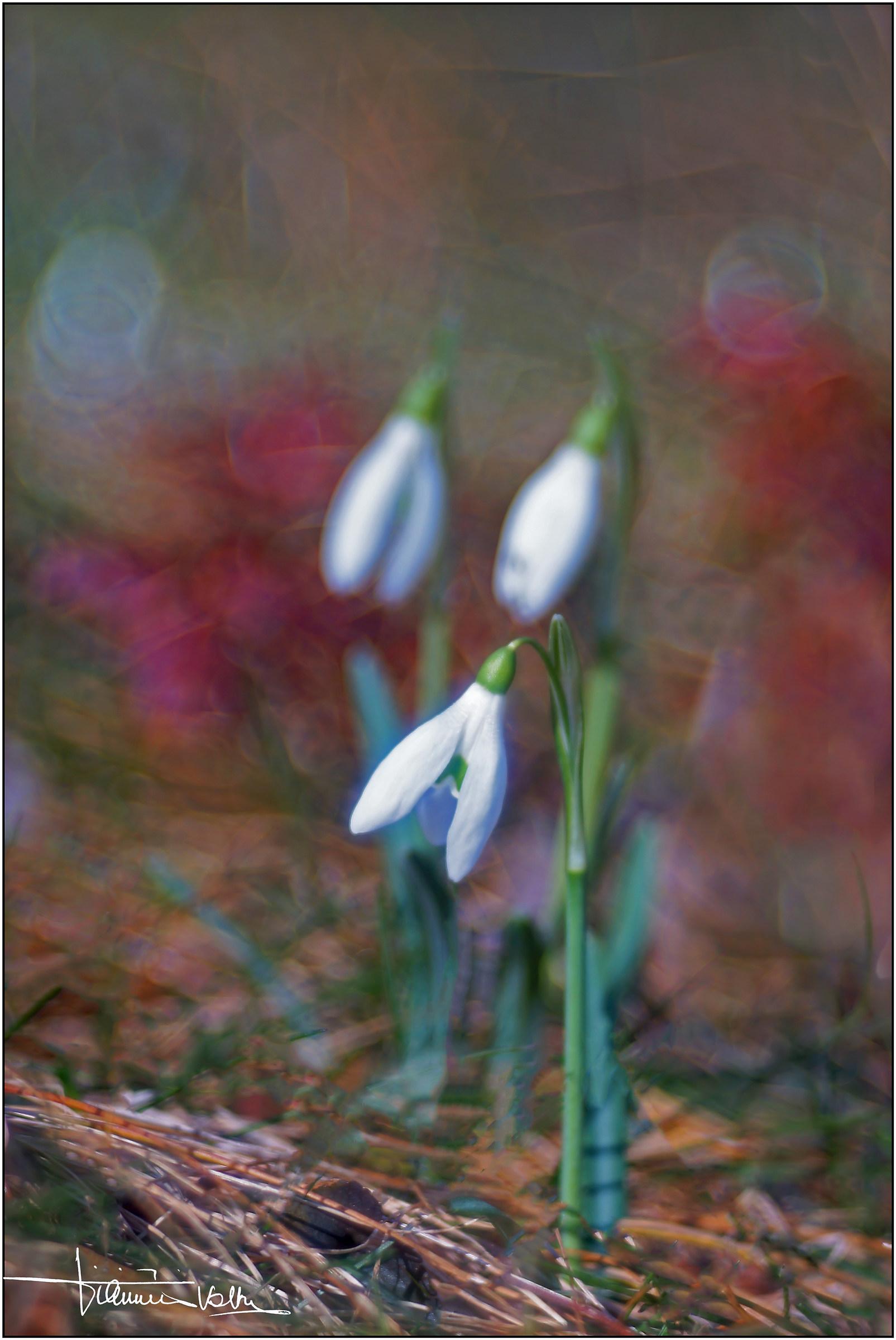 Galanthus nivalis....