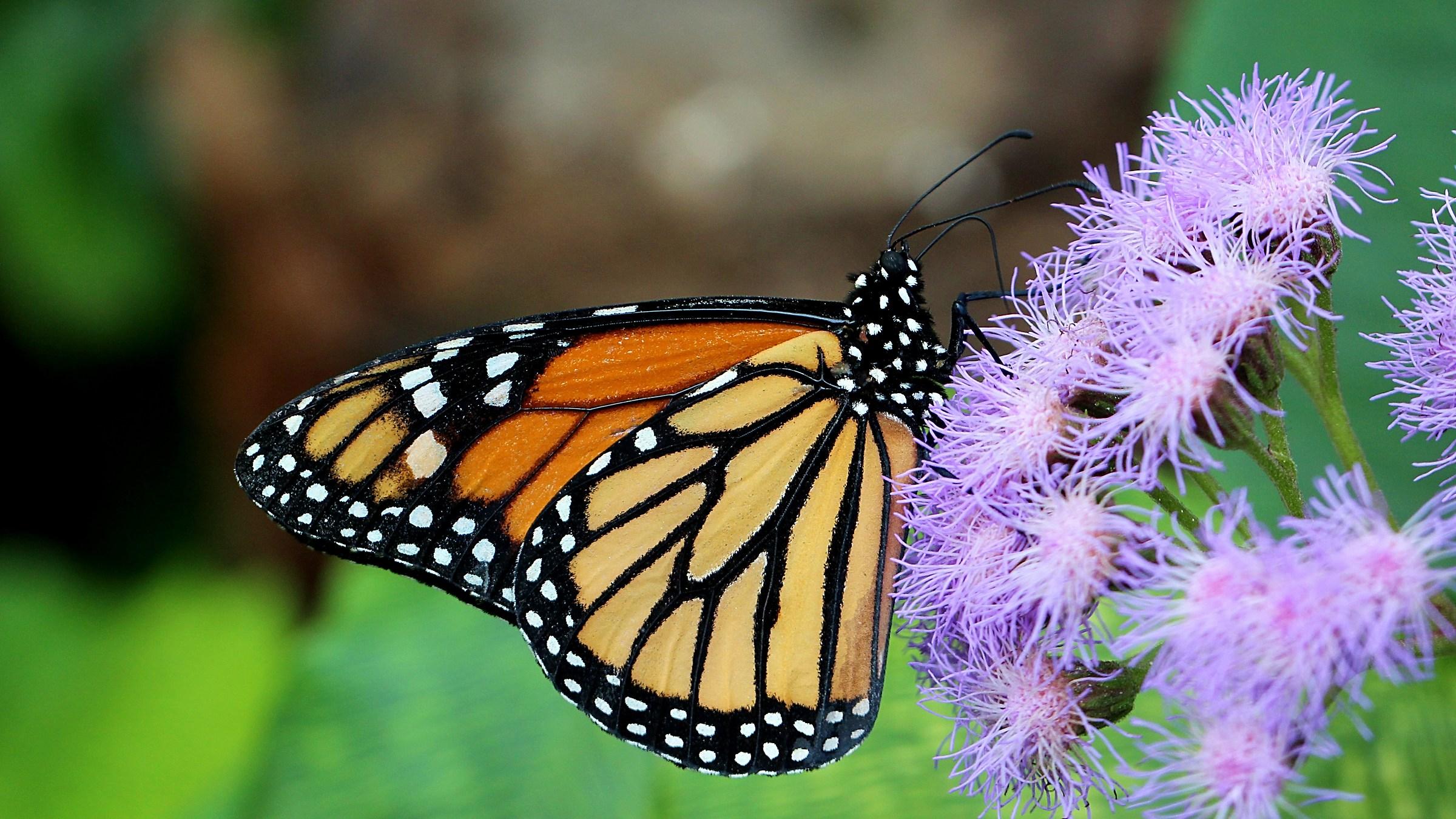 Monarch...