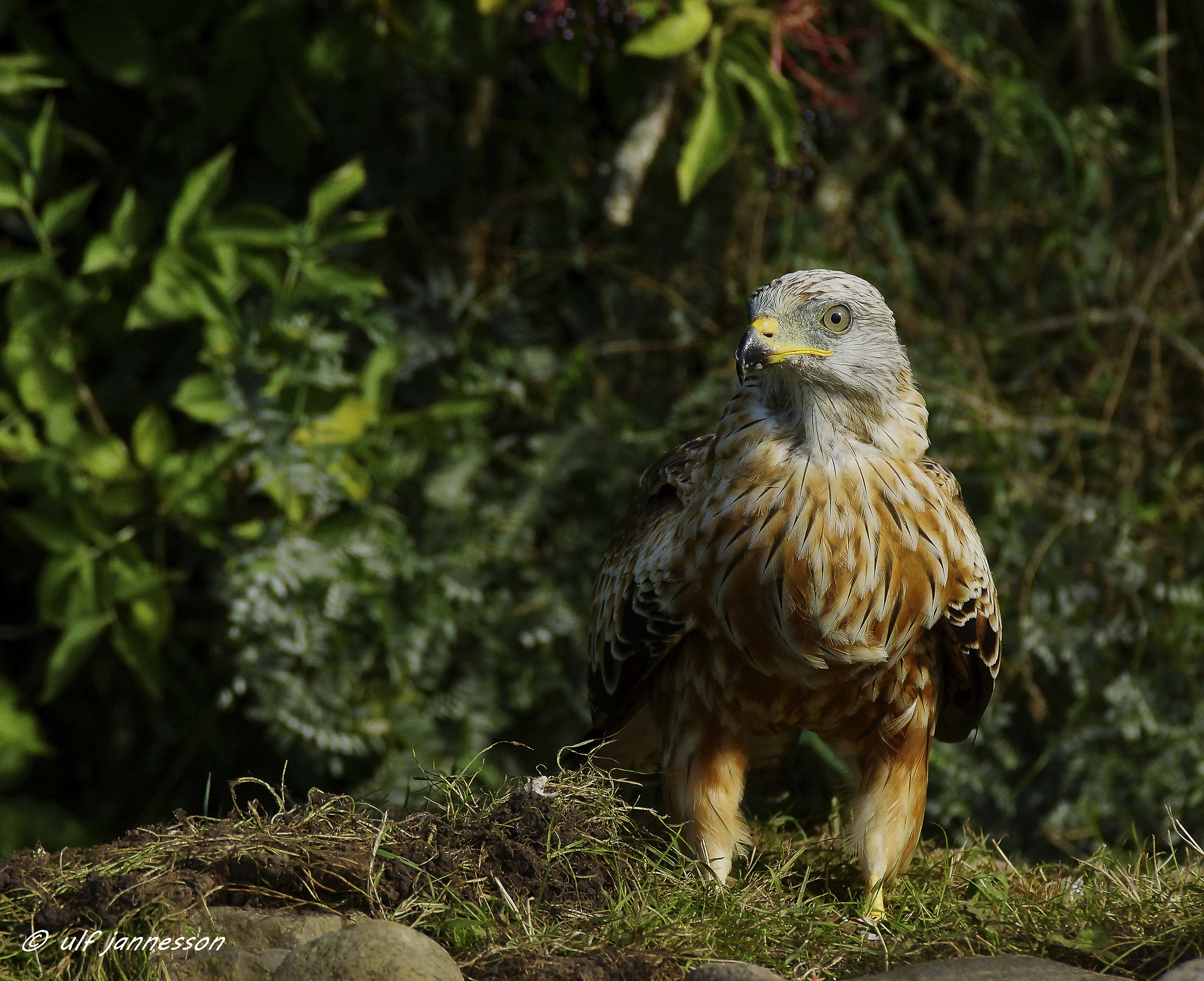 Red kite. Have discovered something...
