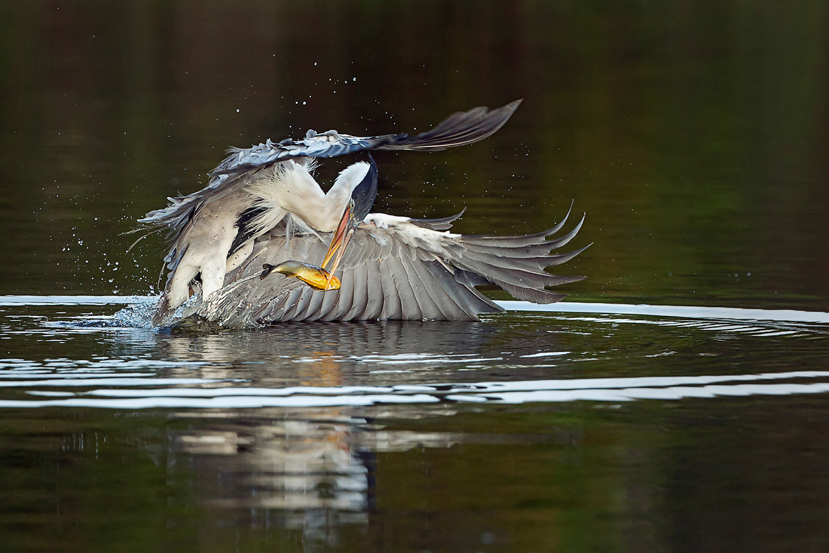 fisherman heron...