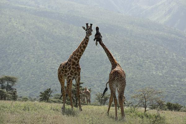 U Camelopardalis Mass Giraffa camelopardalis...