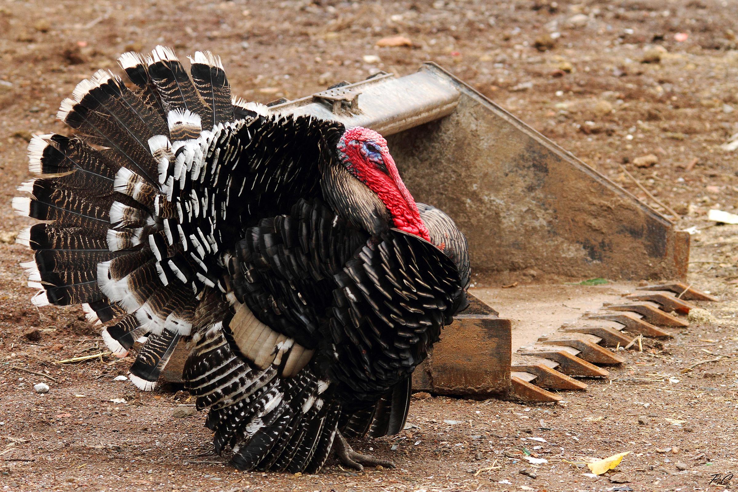 turkey 2...