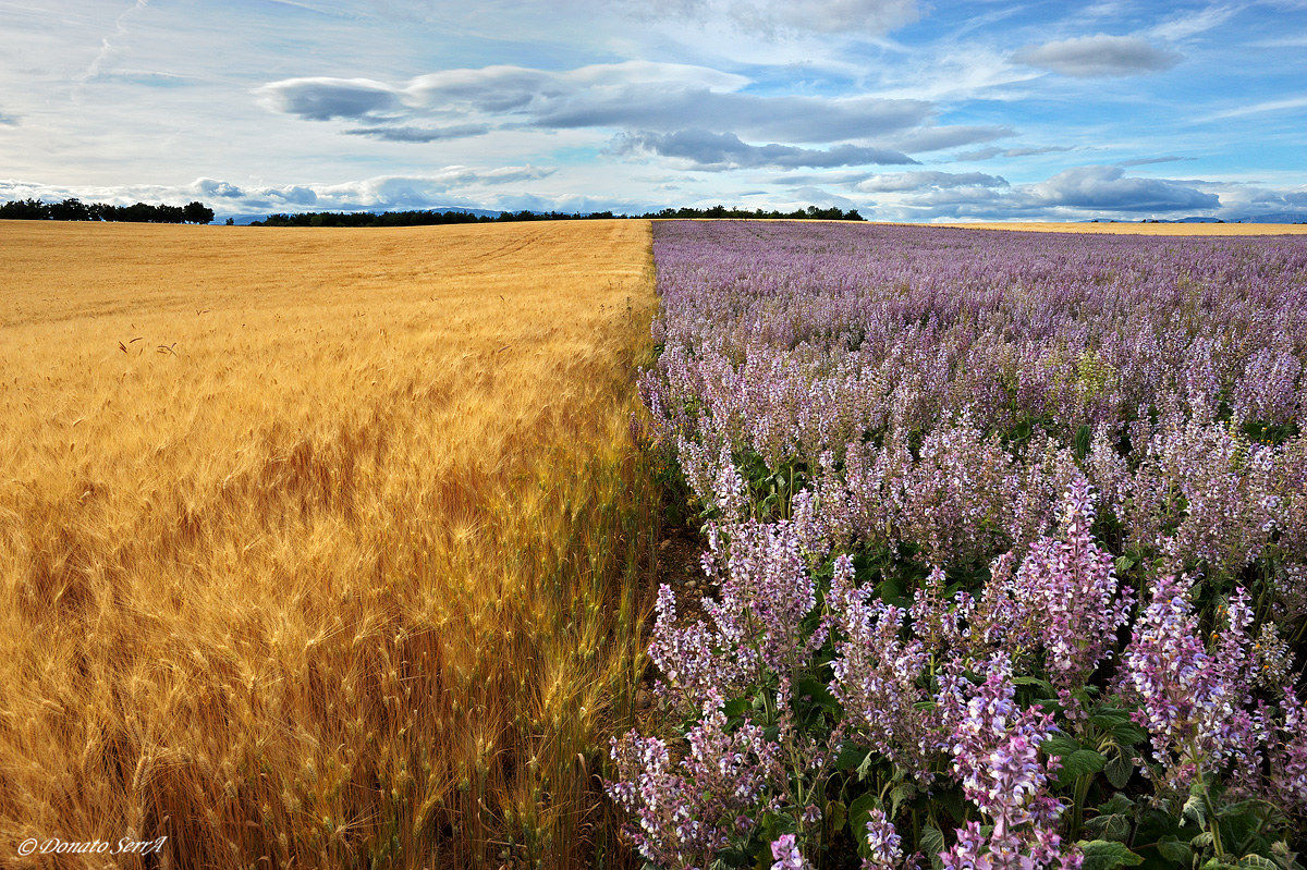 Wheat and clary sage...