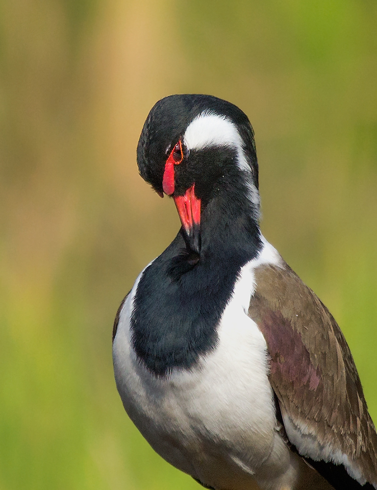 Portrait of Red wattled Lapwing....