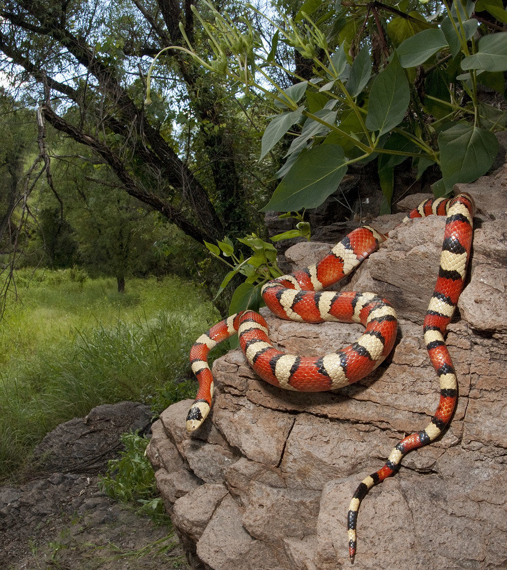 Lampropeltis pyromelana - Arizona...