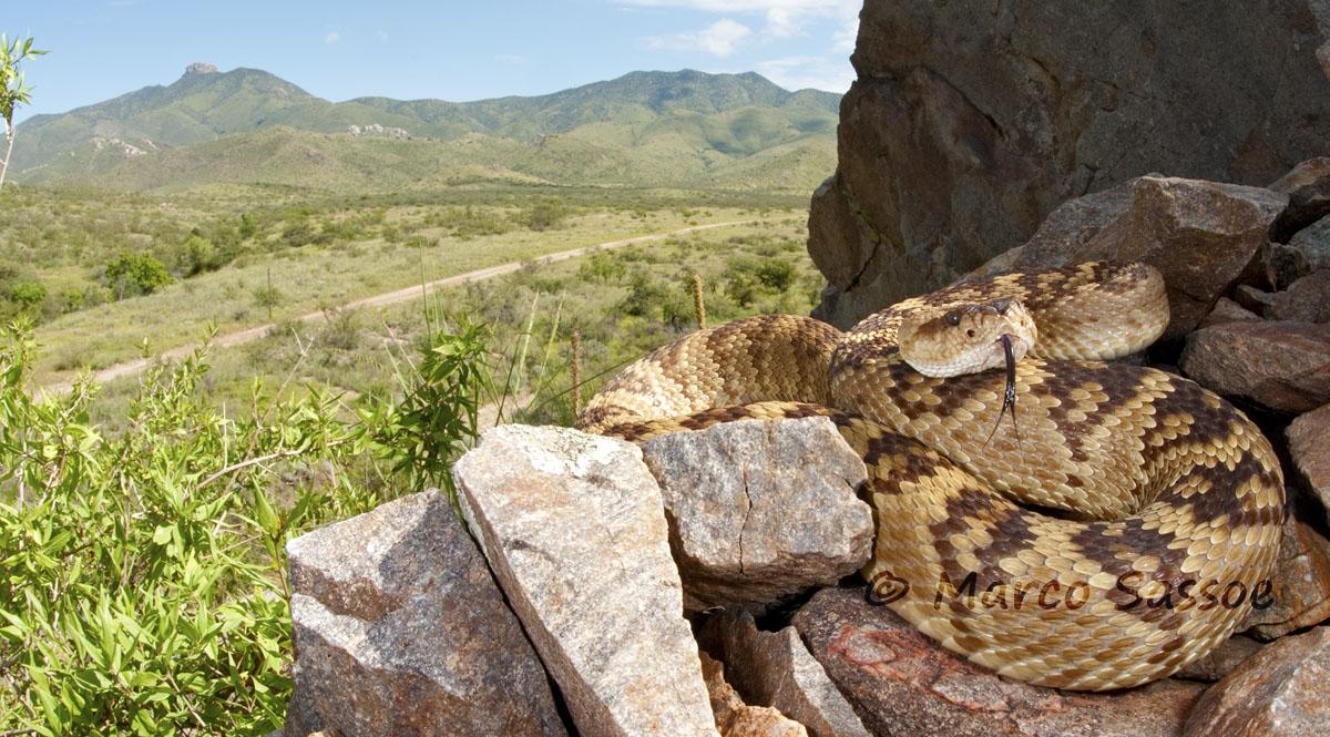 Crotalus molossus - Arizona...