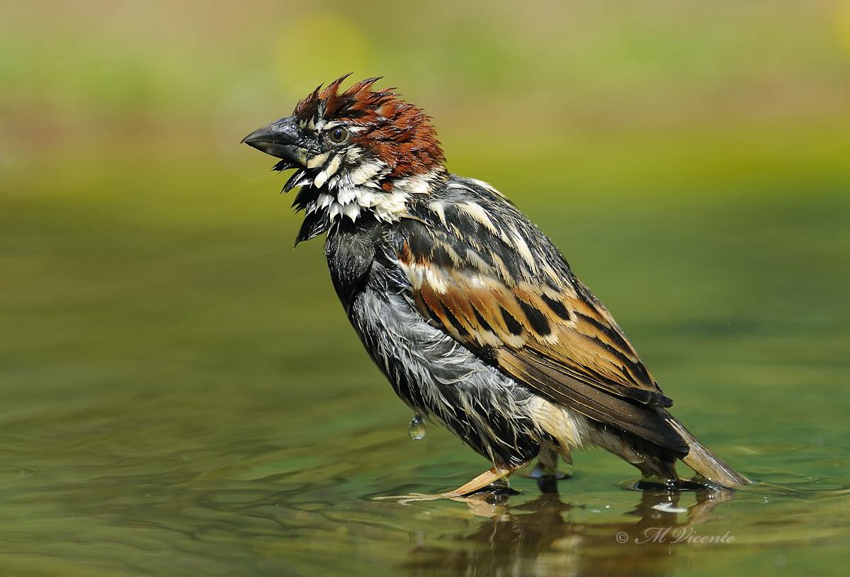 Sparrow Spagnolo...