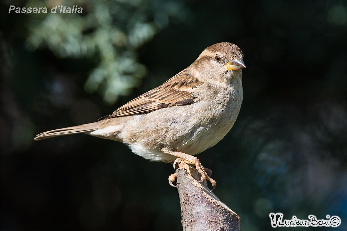 Passera of Italy female...