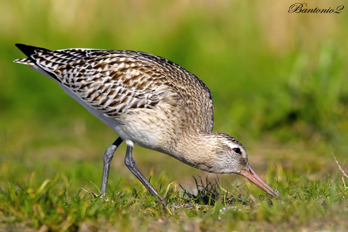 Bar-tailed Godwit....