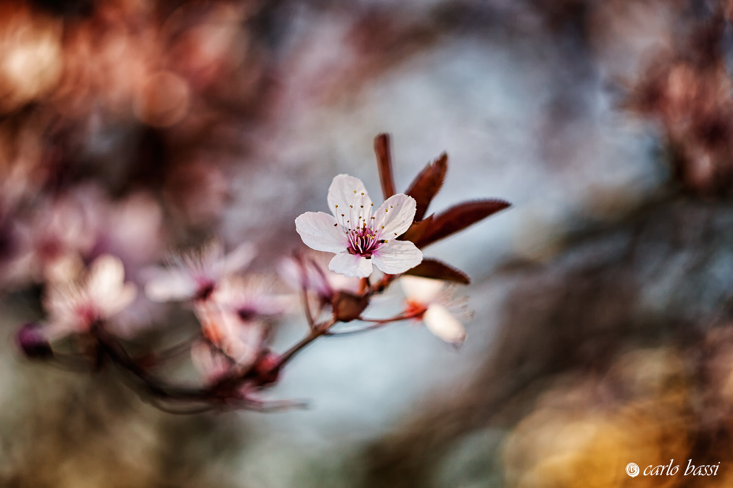 The plum blossom...