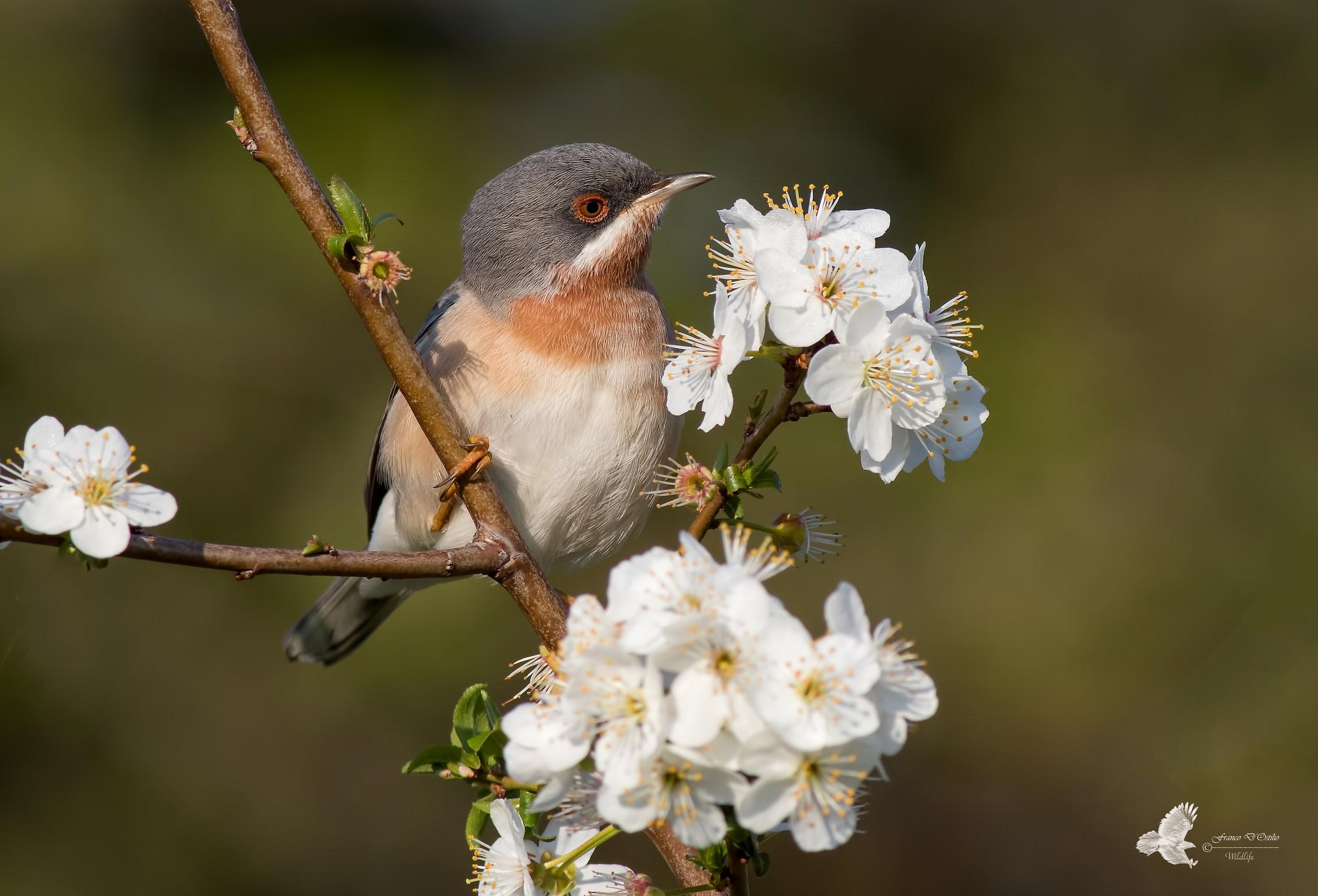 subalpine warbler...