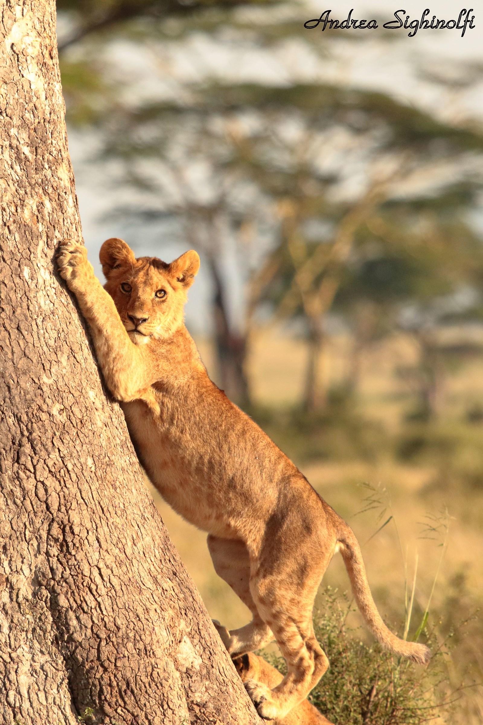 lion cub...