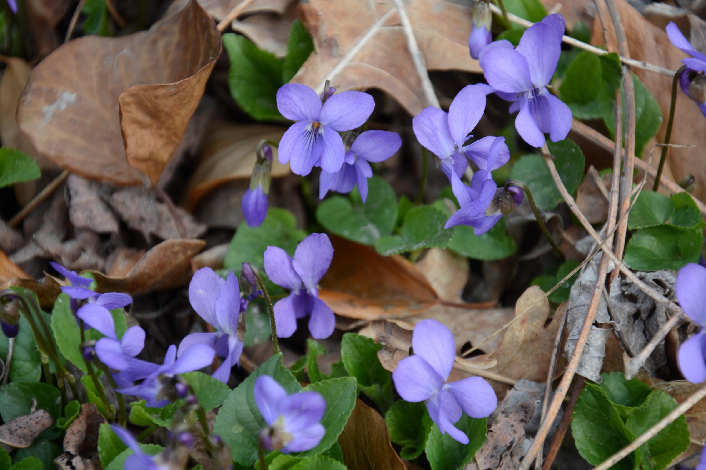 Primavera lungo le sponde del Chisone...
