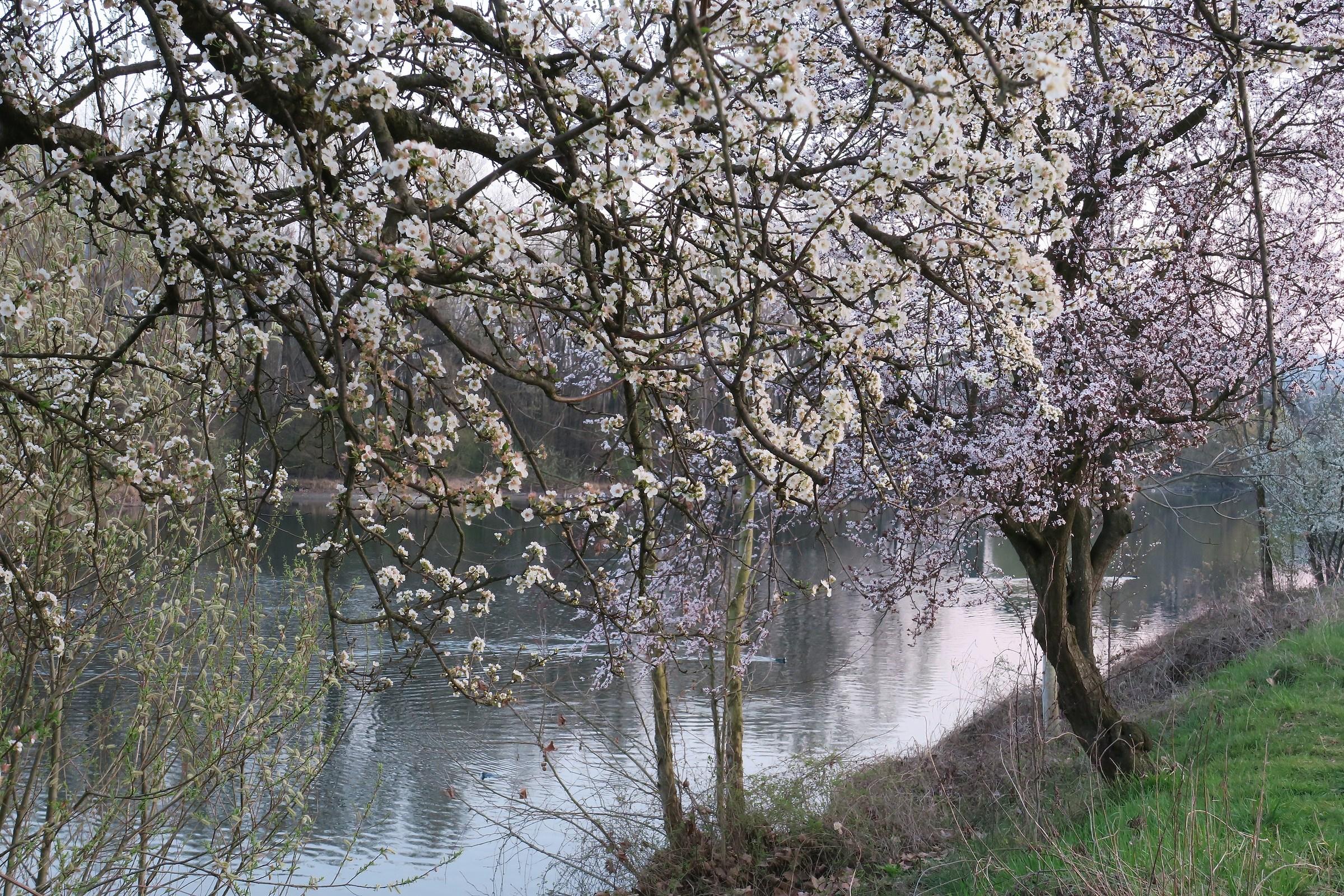 alberi in fiore sulle rive dell'Adda...