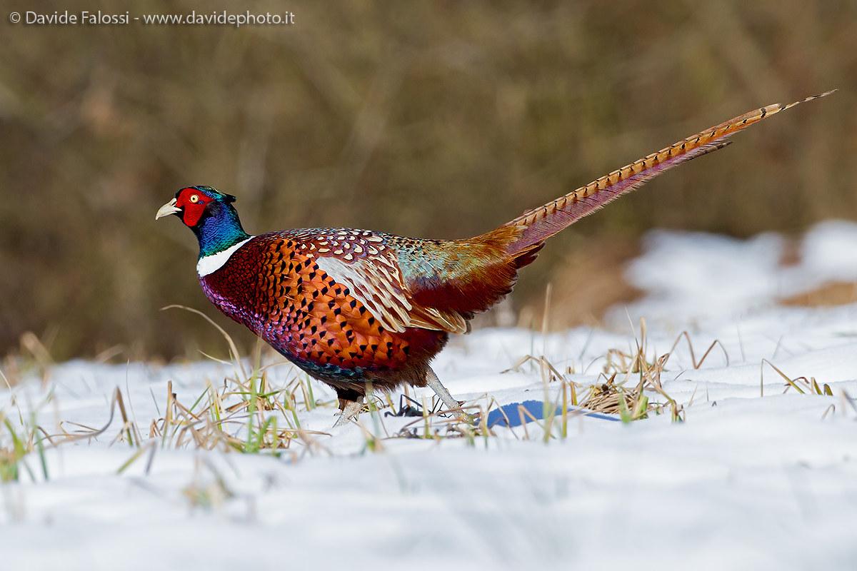 pheasant snowy...