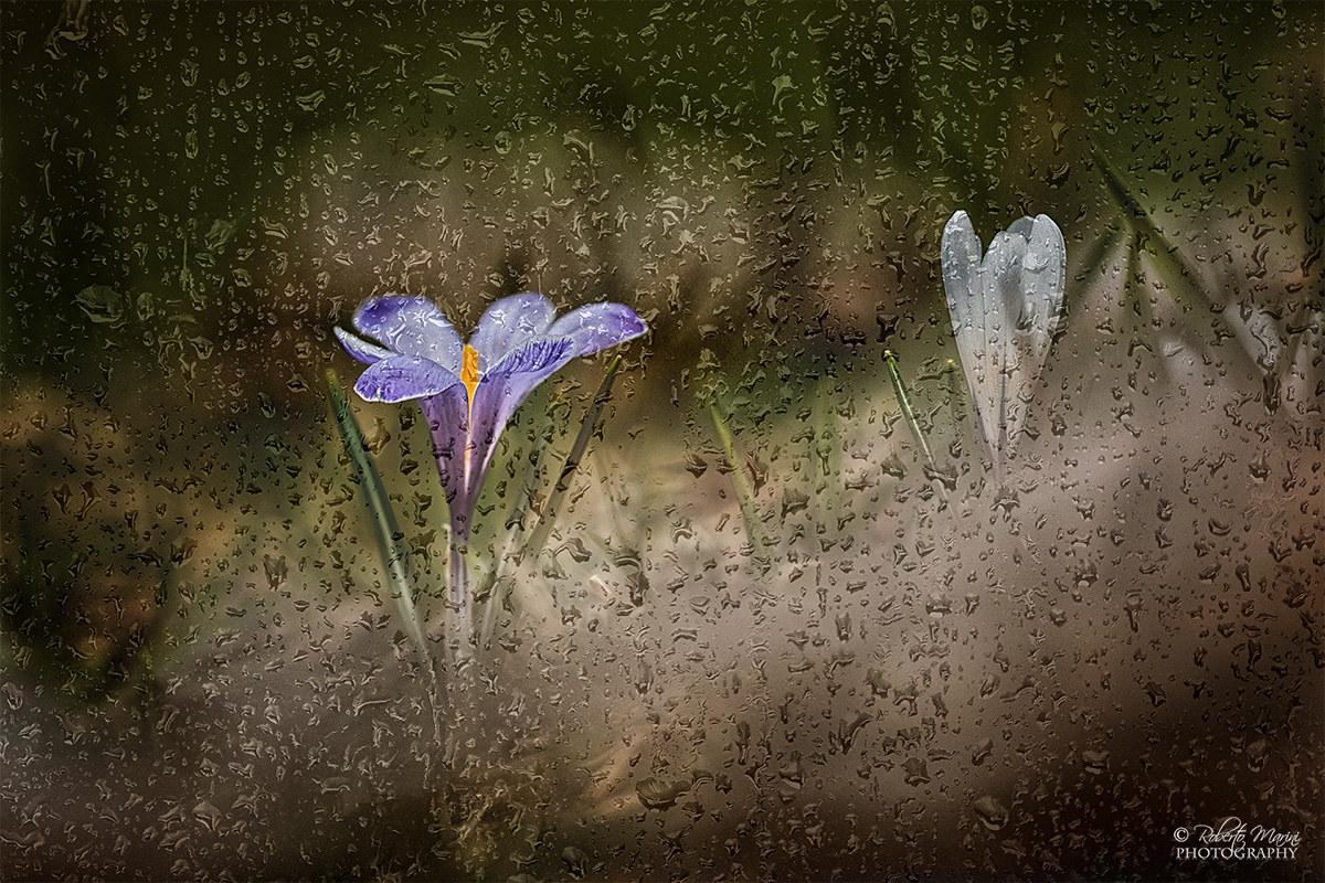 Crocus Rain...
