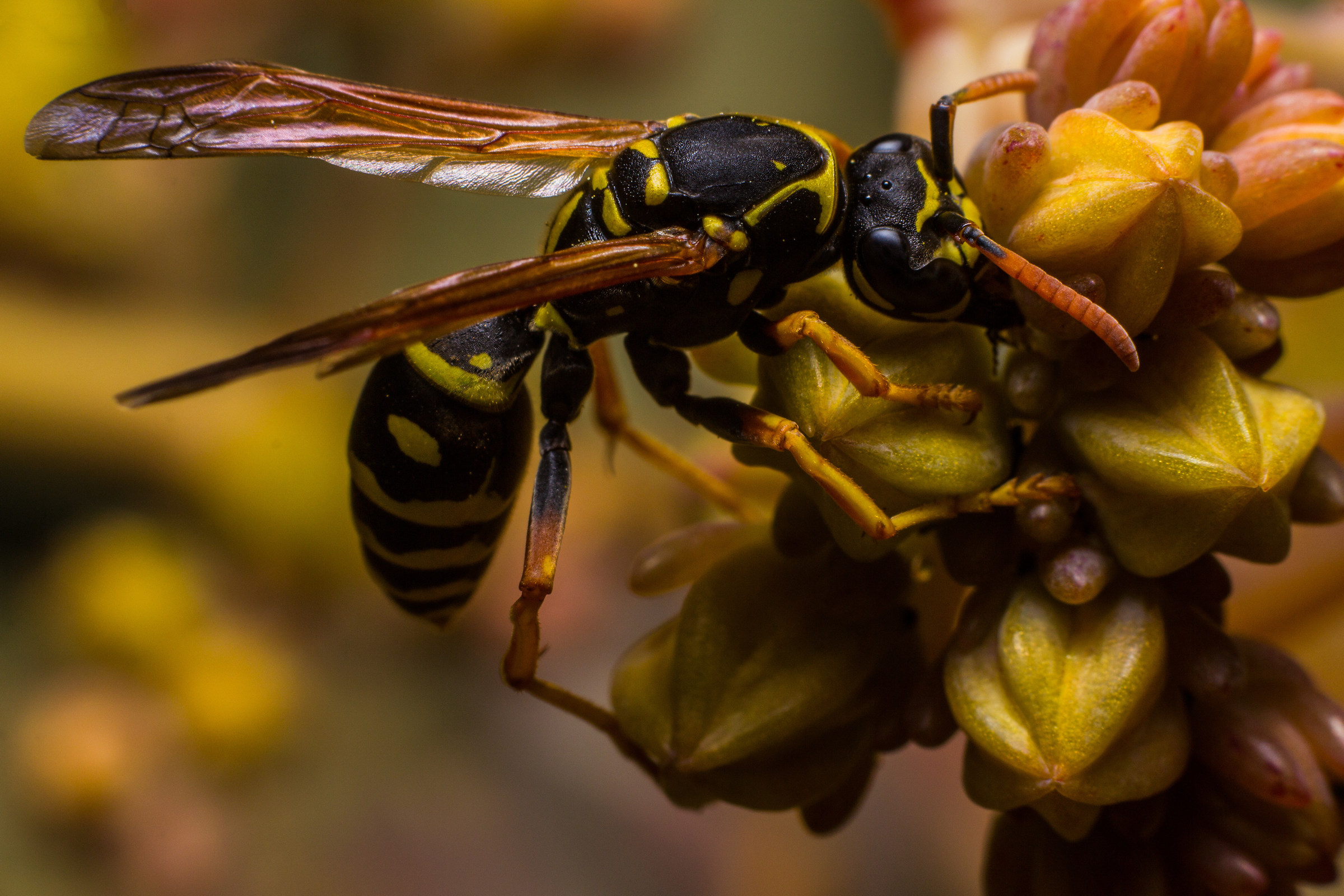 Wasp (Polistes dominula)...