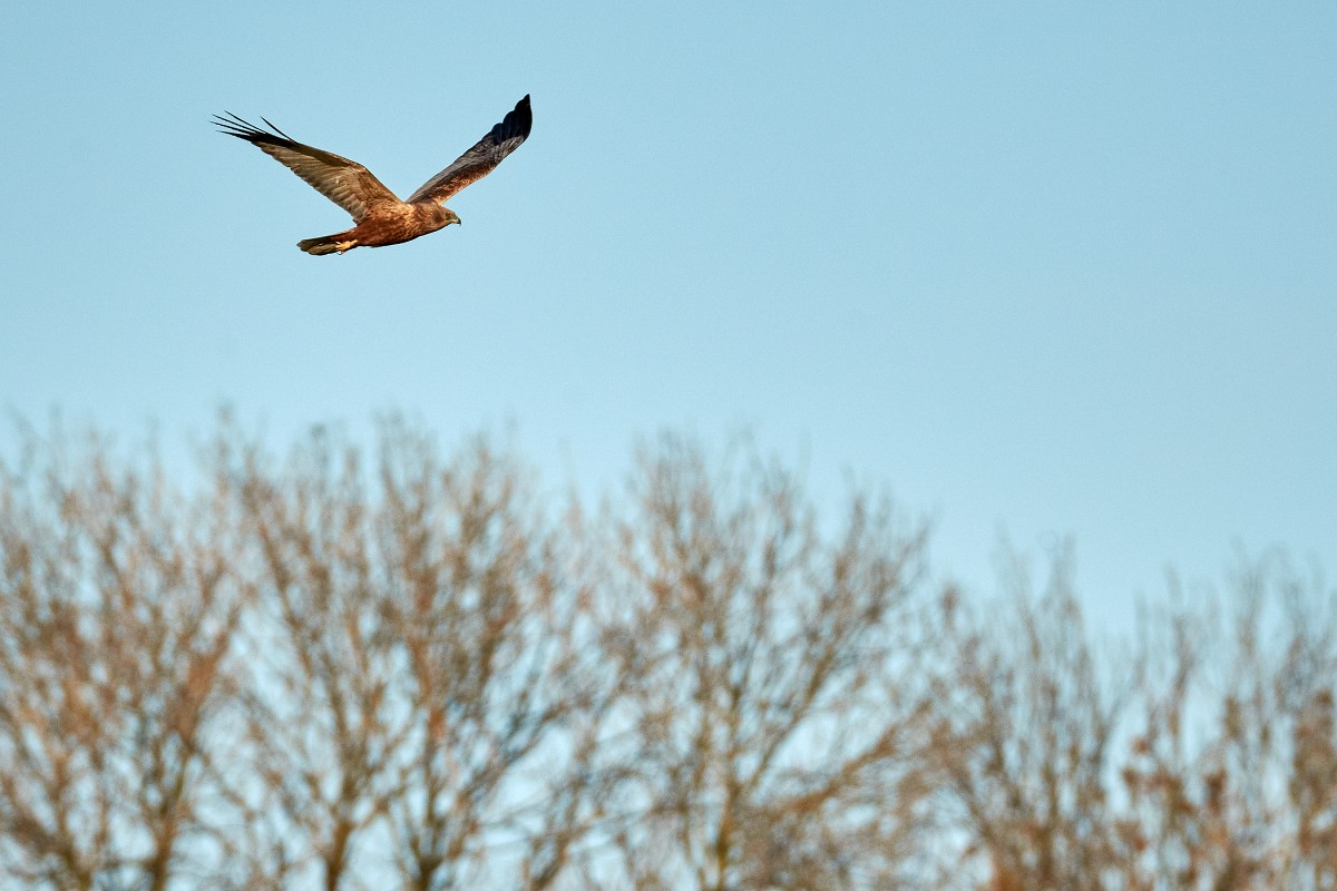 Male marsh harrier...