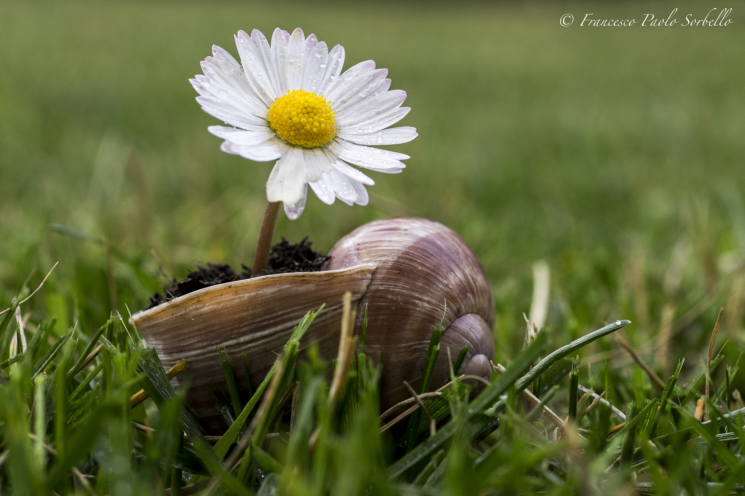 daisy and shell...